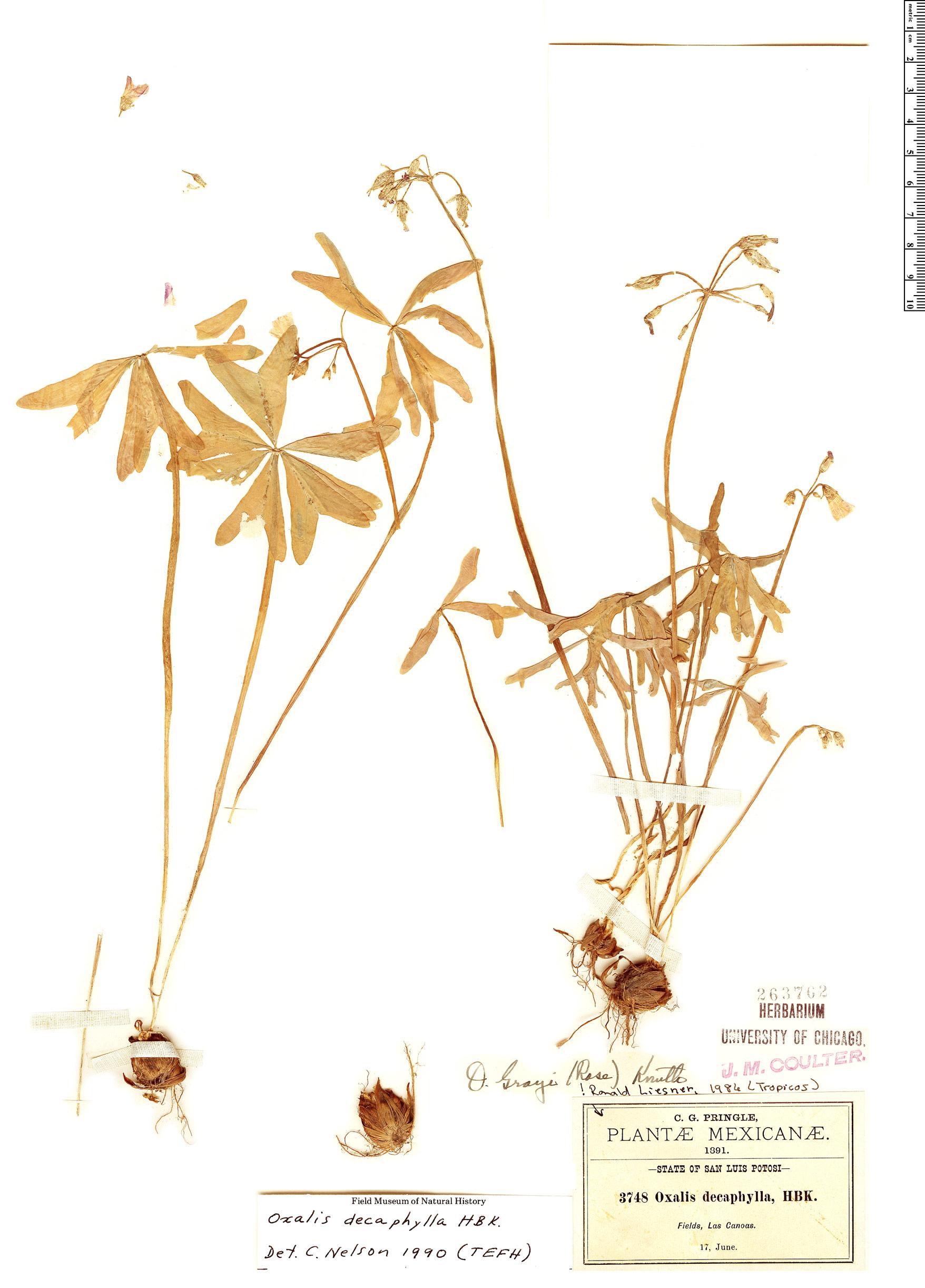 Espécimen: Oxalis decaphylla