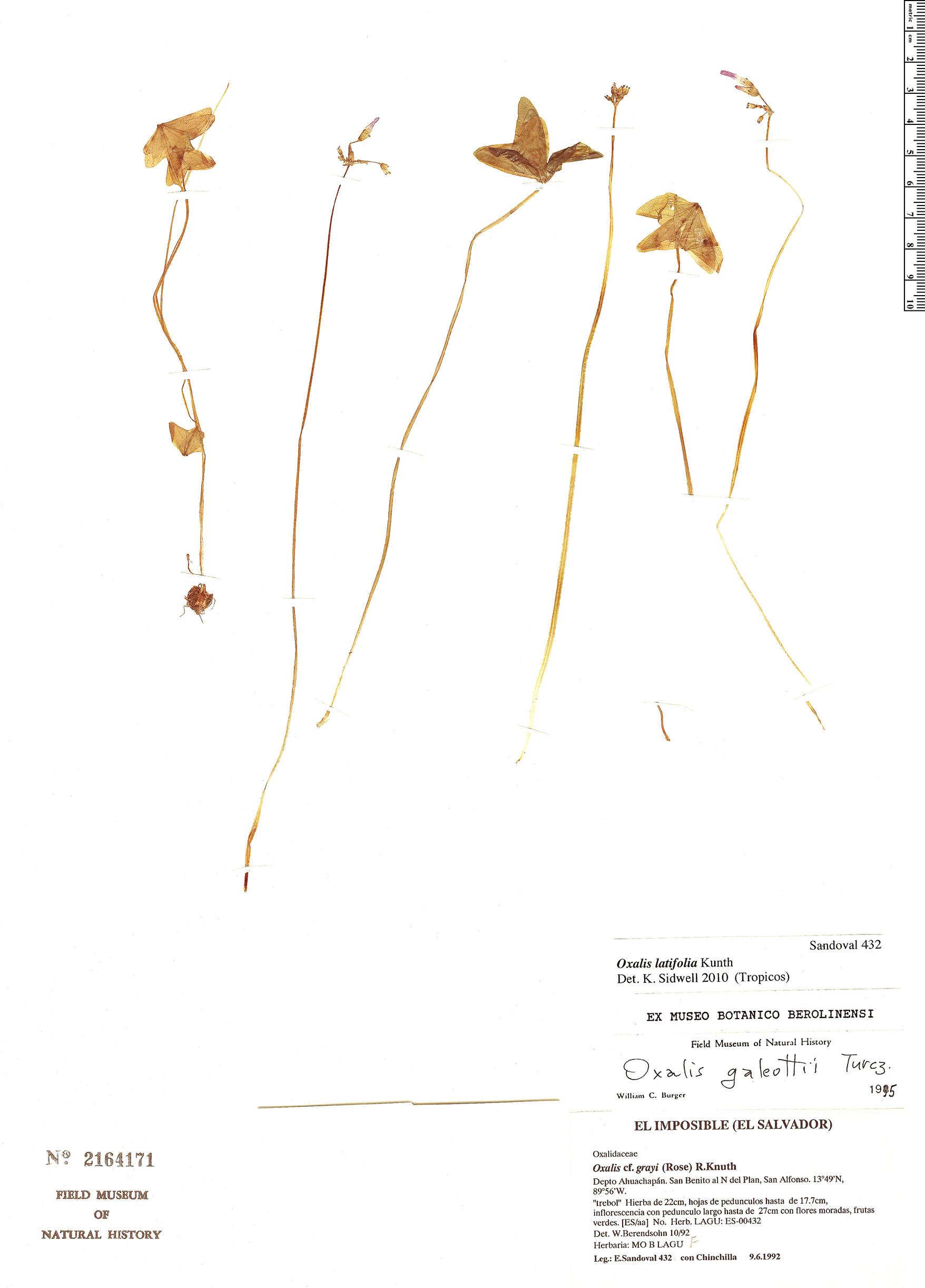 Specimen: Oxalis latifolia