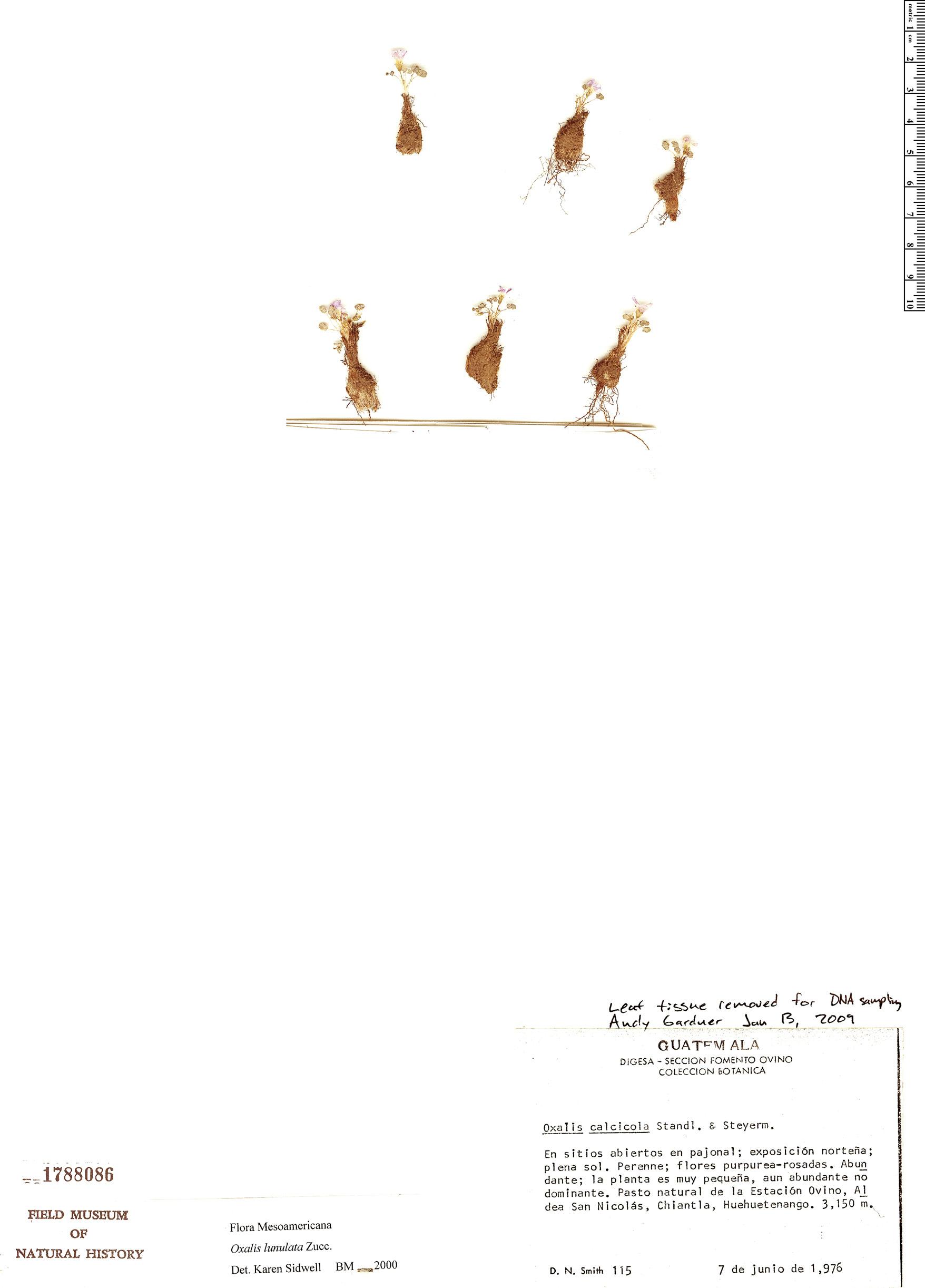 Specimen: Oxalis lunulata
