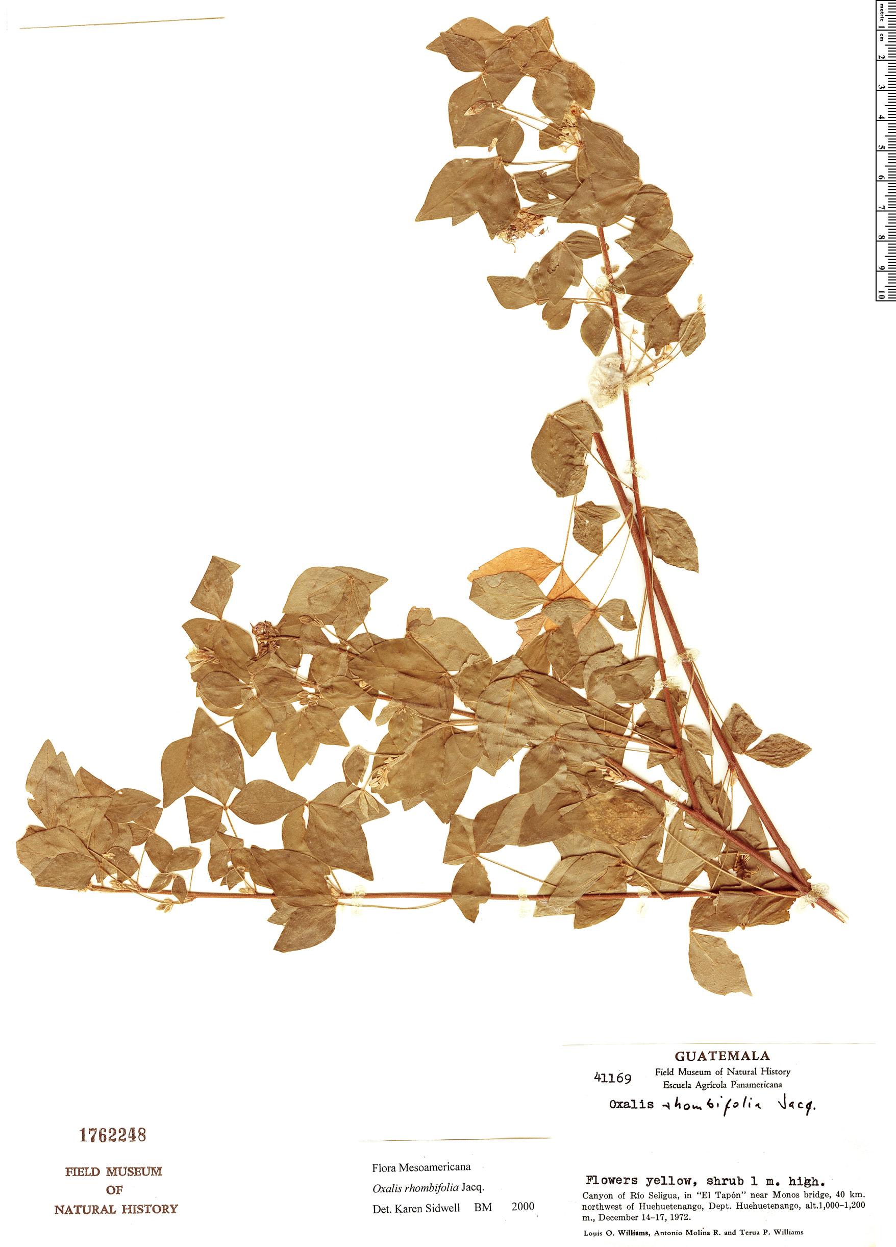 Specimen: Oxalis rhombifolia