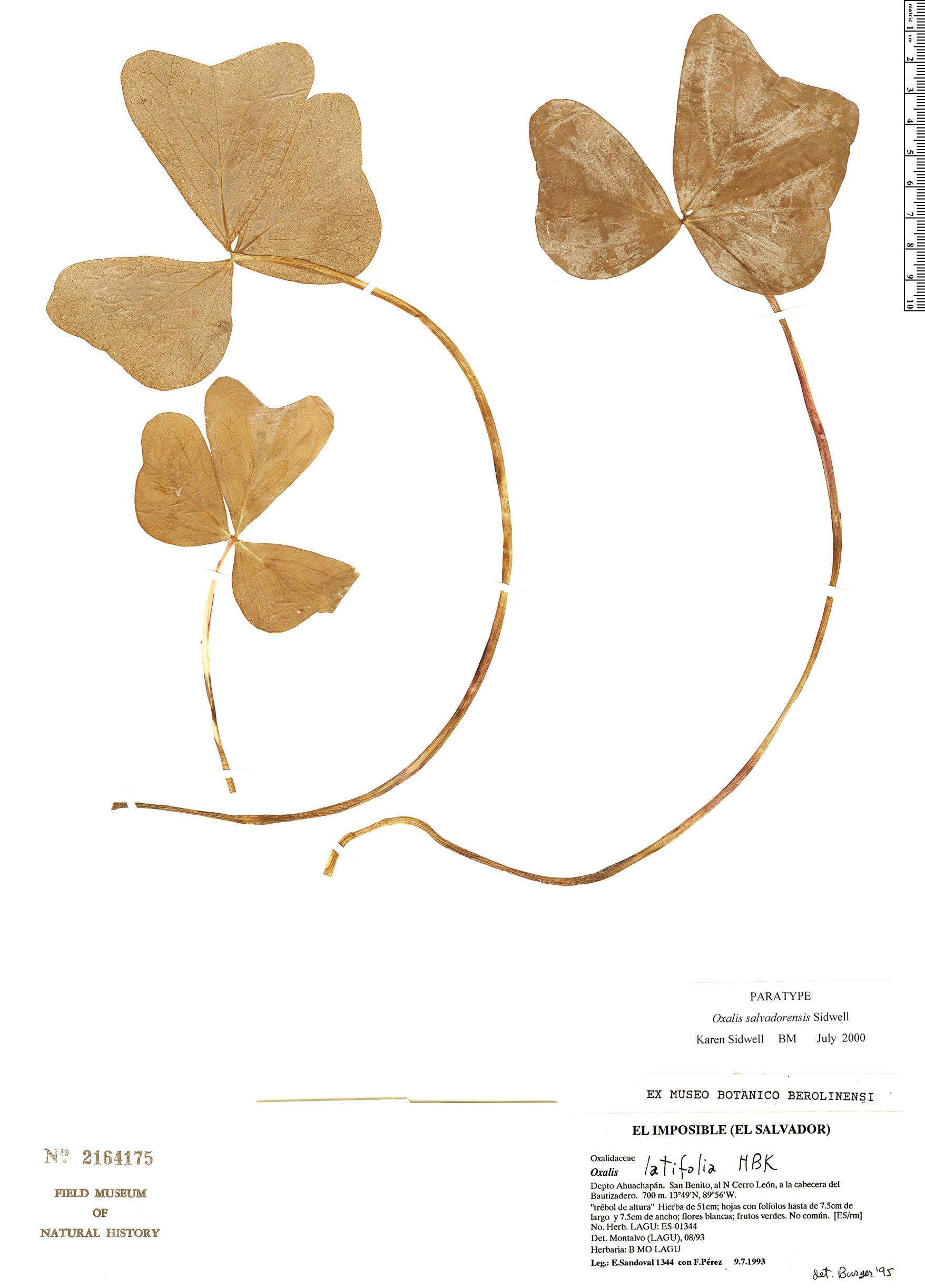 Specimen: Oxalis salvadorensis