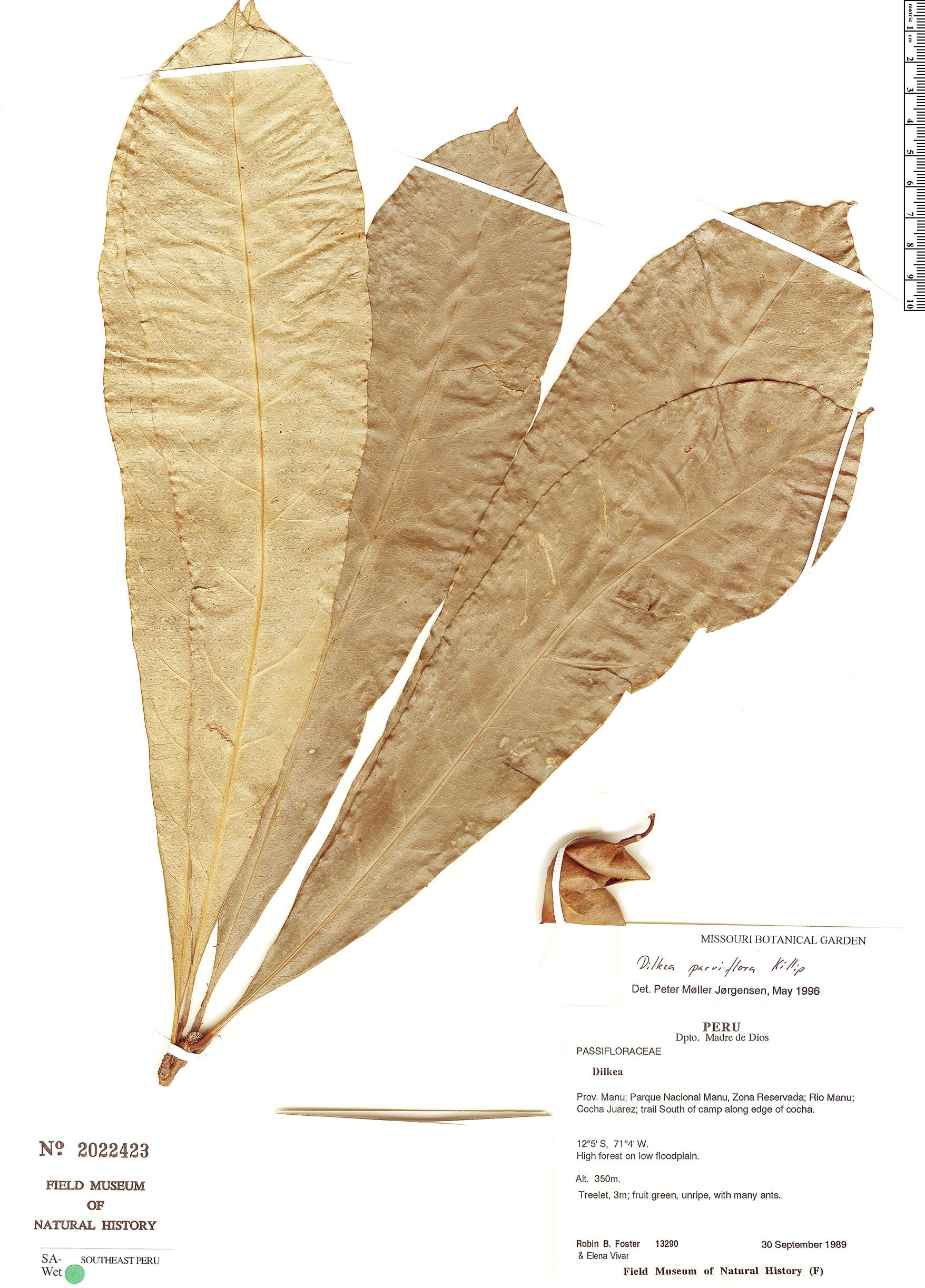 Specimen: Dilkea parviflora