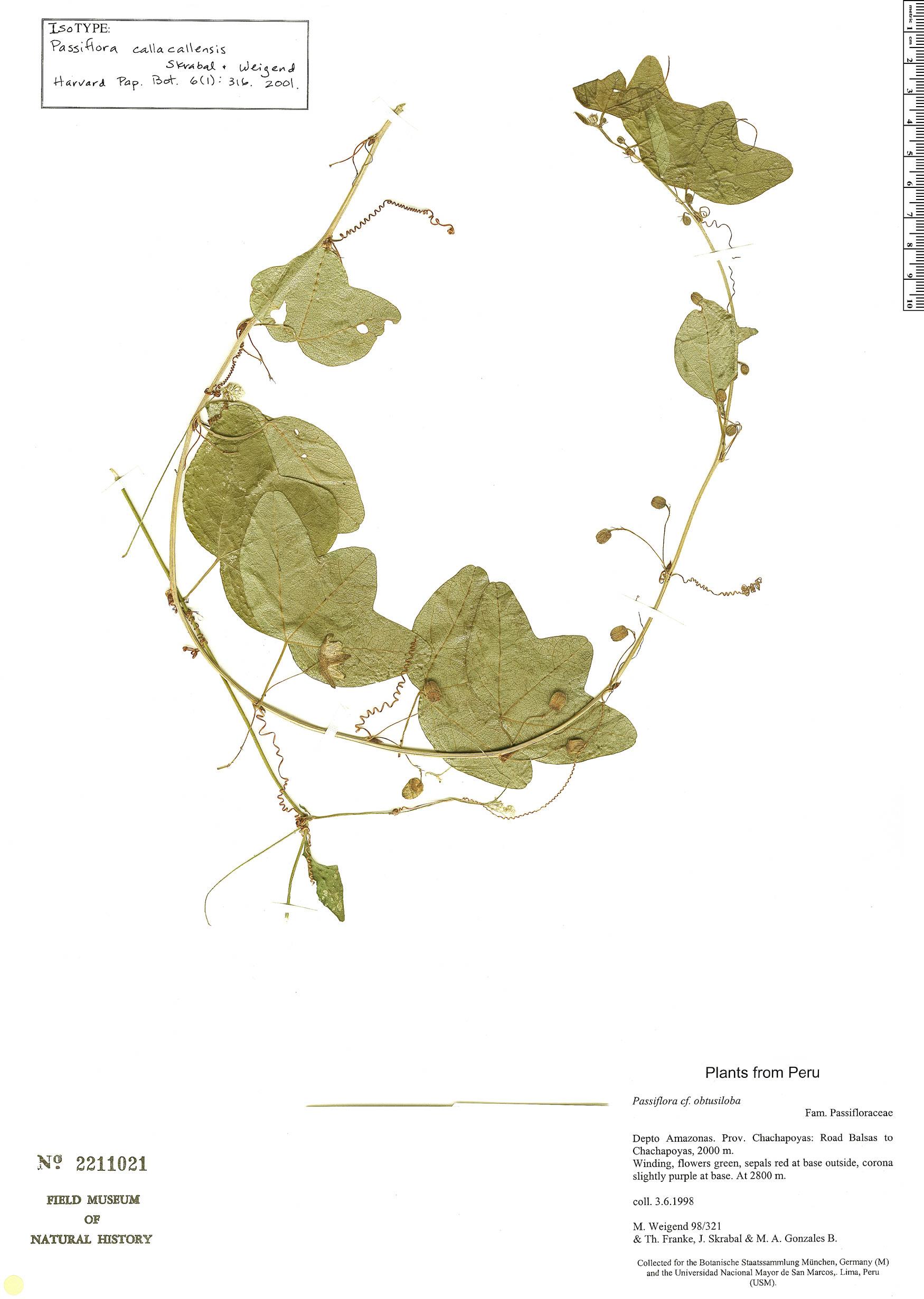 Specimen: Passiflora callacallensis