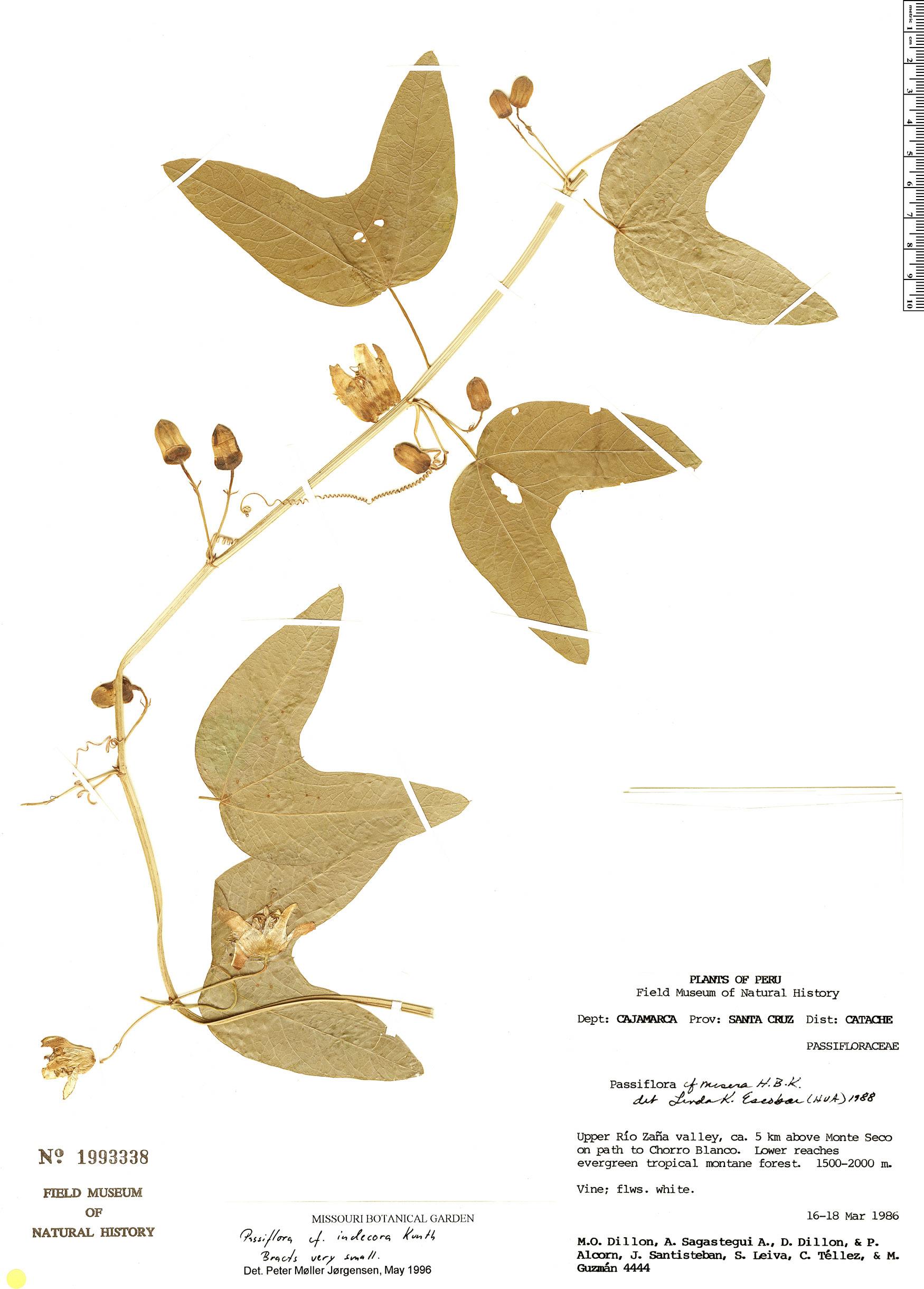 Specimen: Passiflora indecora