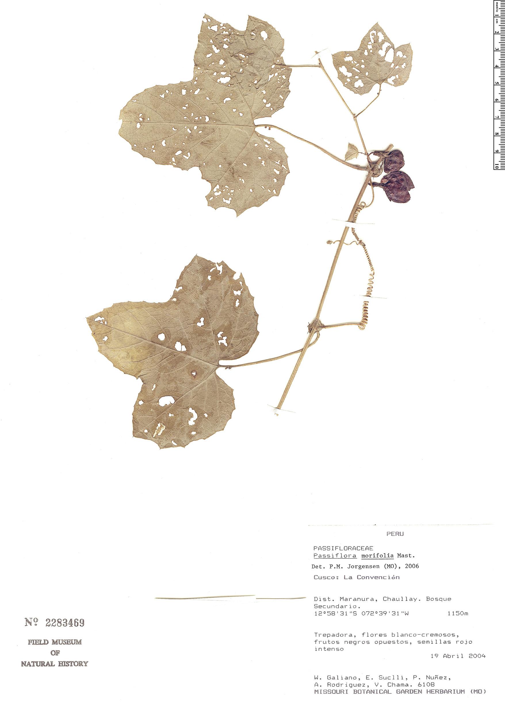 Specimen: Passiflora morifolia