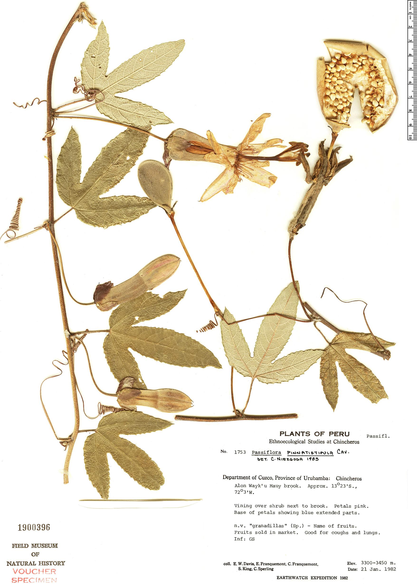 Espécime: Passiflora pinnatistipula