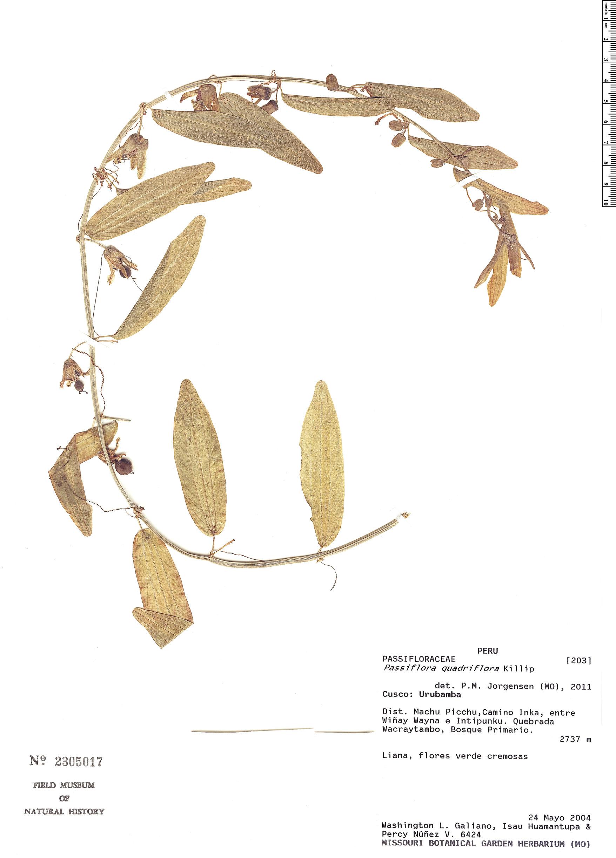 Specimen: Passiflora quadriflora