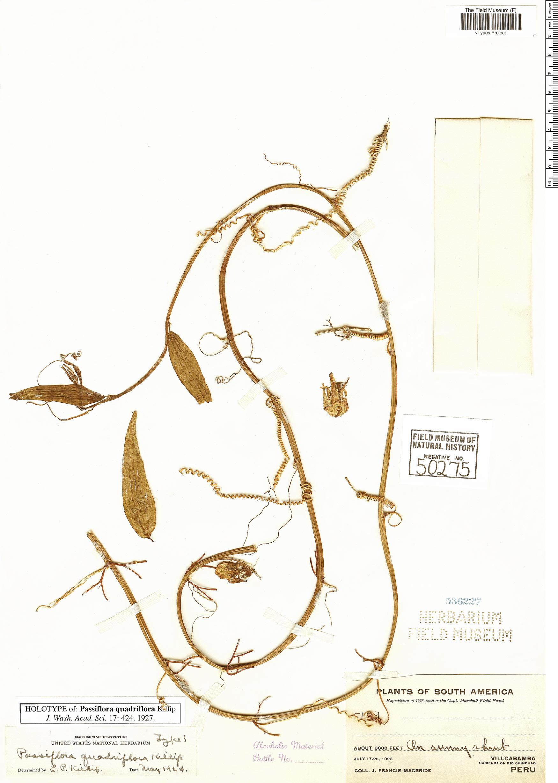 Espécimen: Passiflora quadriflora