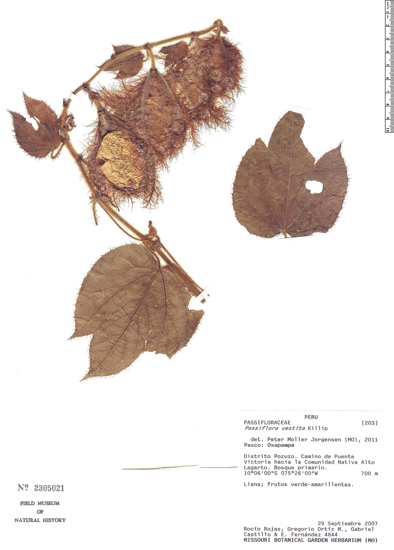 Specimen: Passiflora vestita