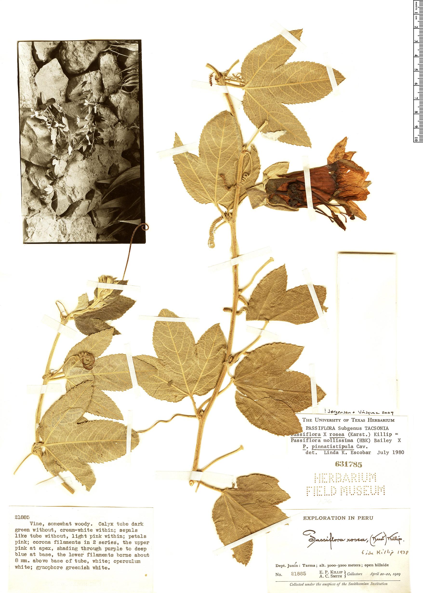 Specimen: Passiflora x rosea