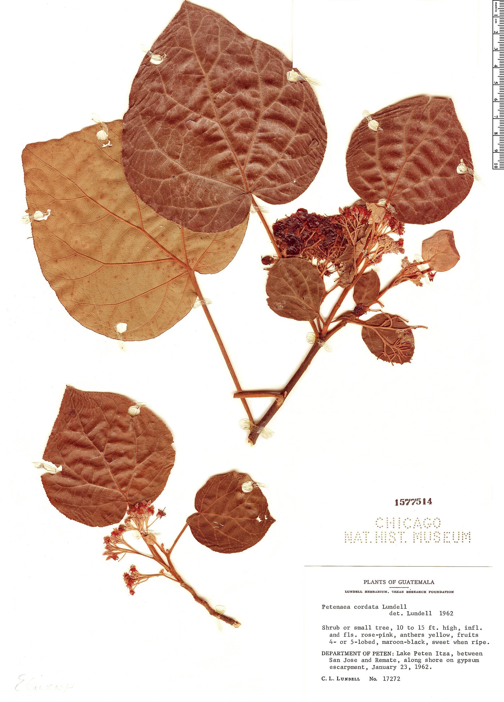 Specimen: Petenaea cordata