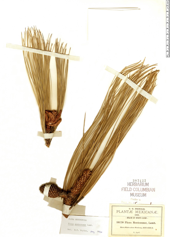 Specimen: Pinus montezumae