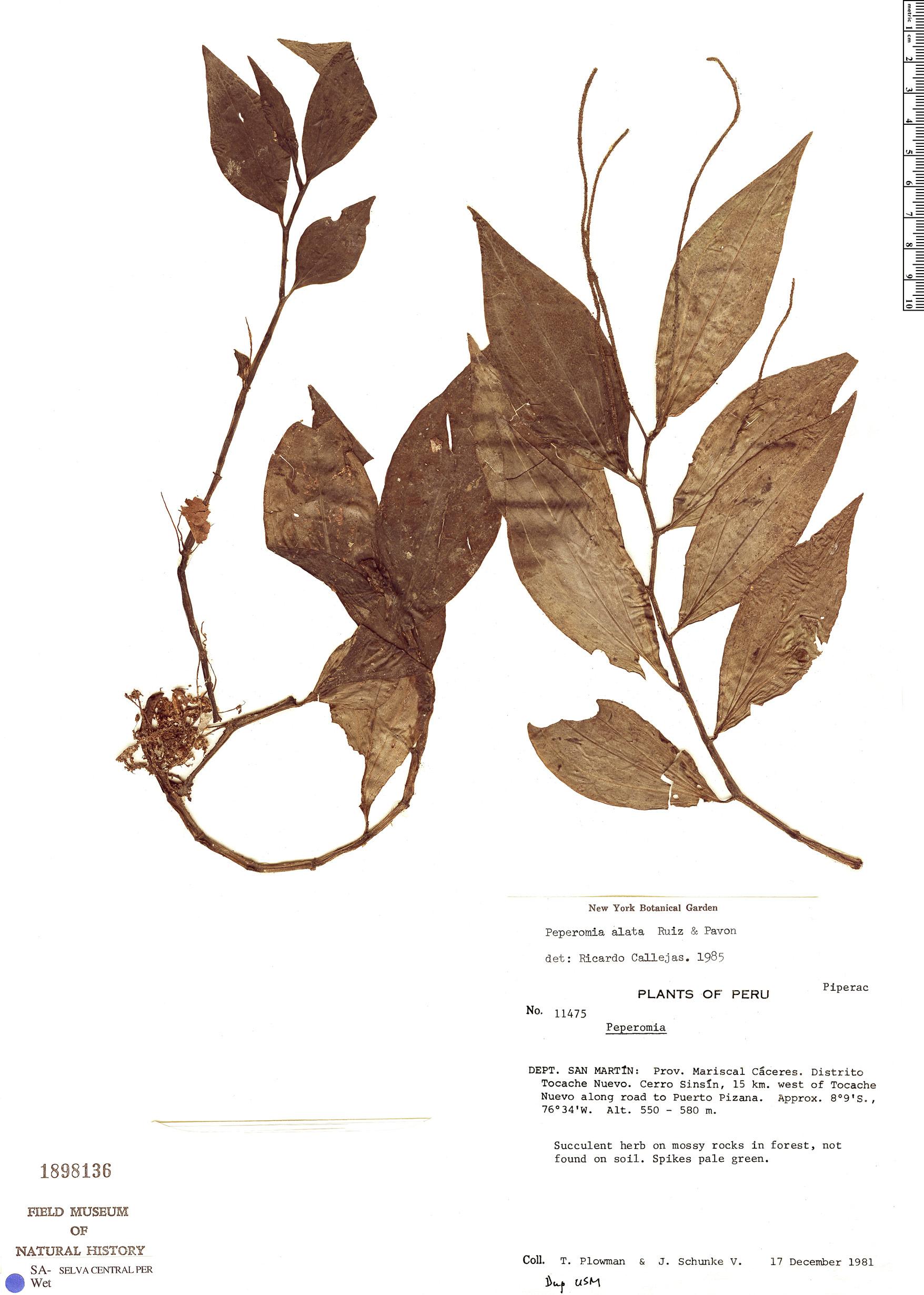 Specimen: Peperomia alata
