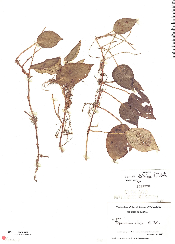 Specimen: Peperomia distachya