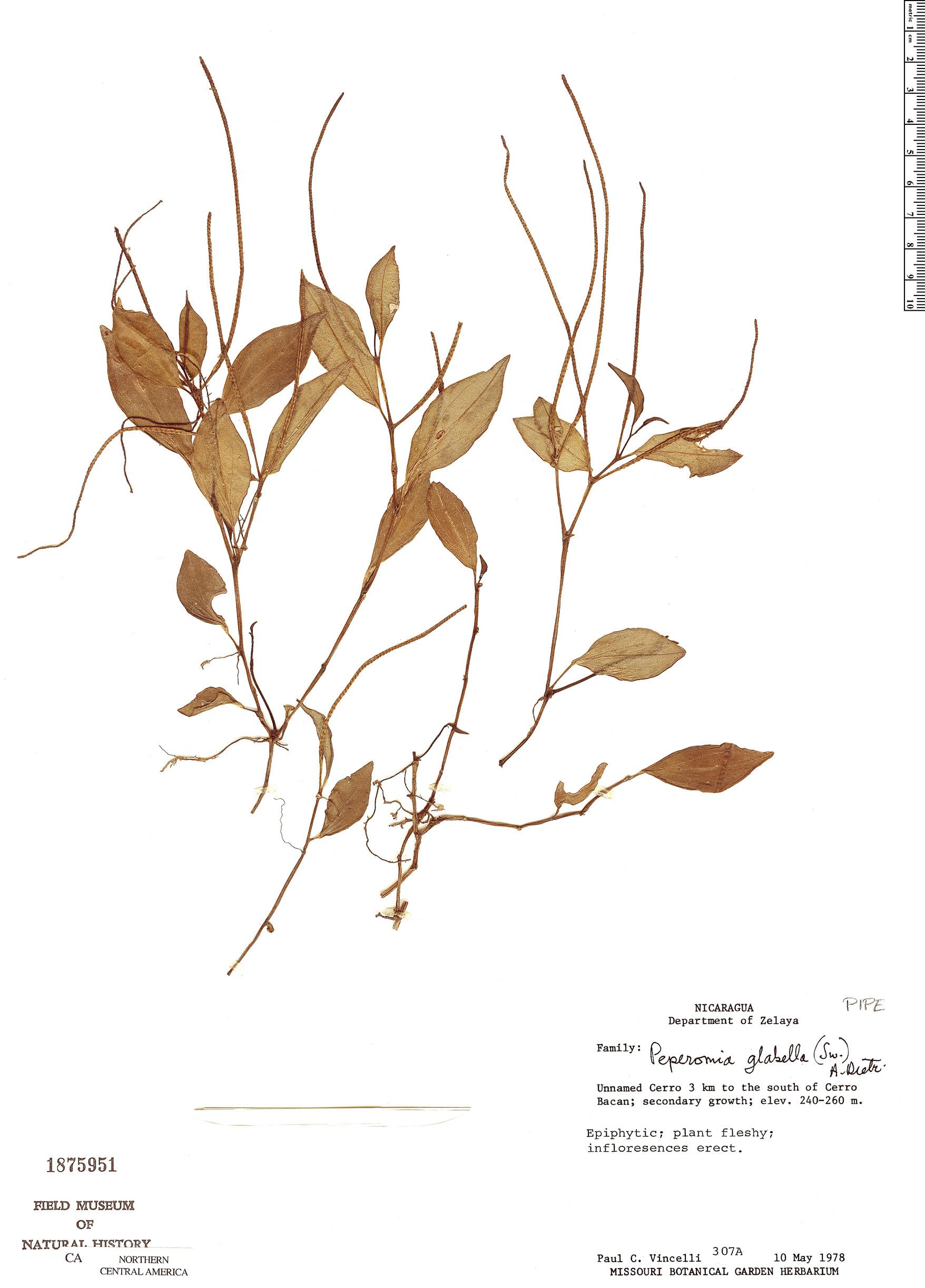 Specimen: Peperomia glabella