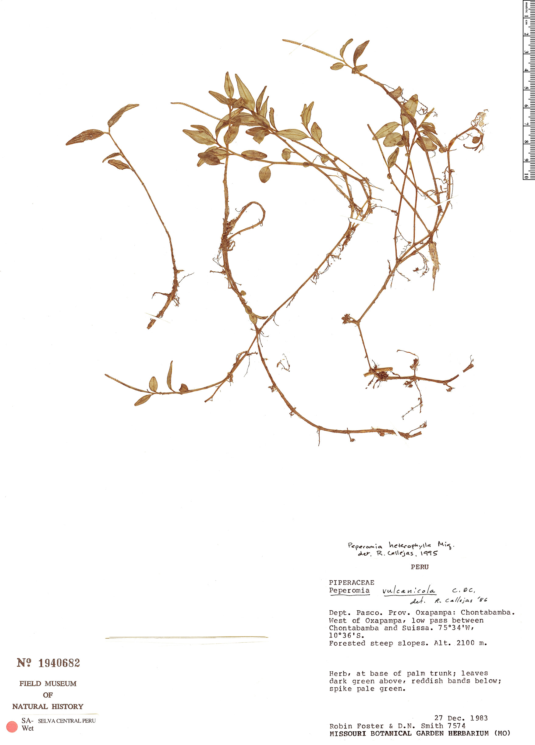 Specimen: Peperomia heterophylla