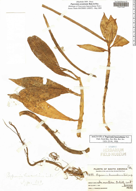 Specimen: Peperomia acuminata