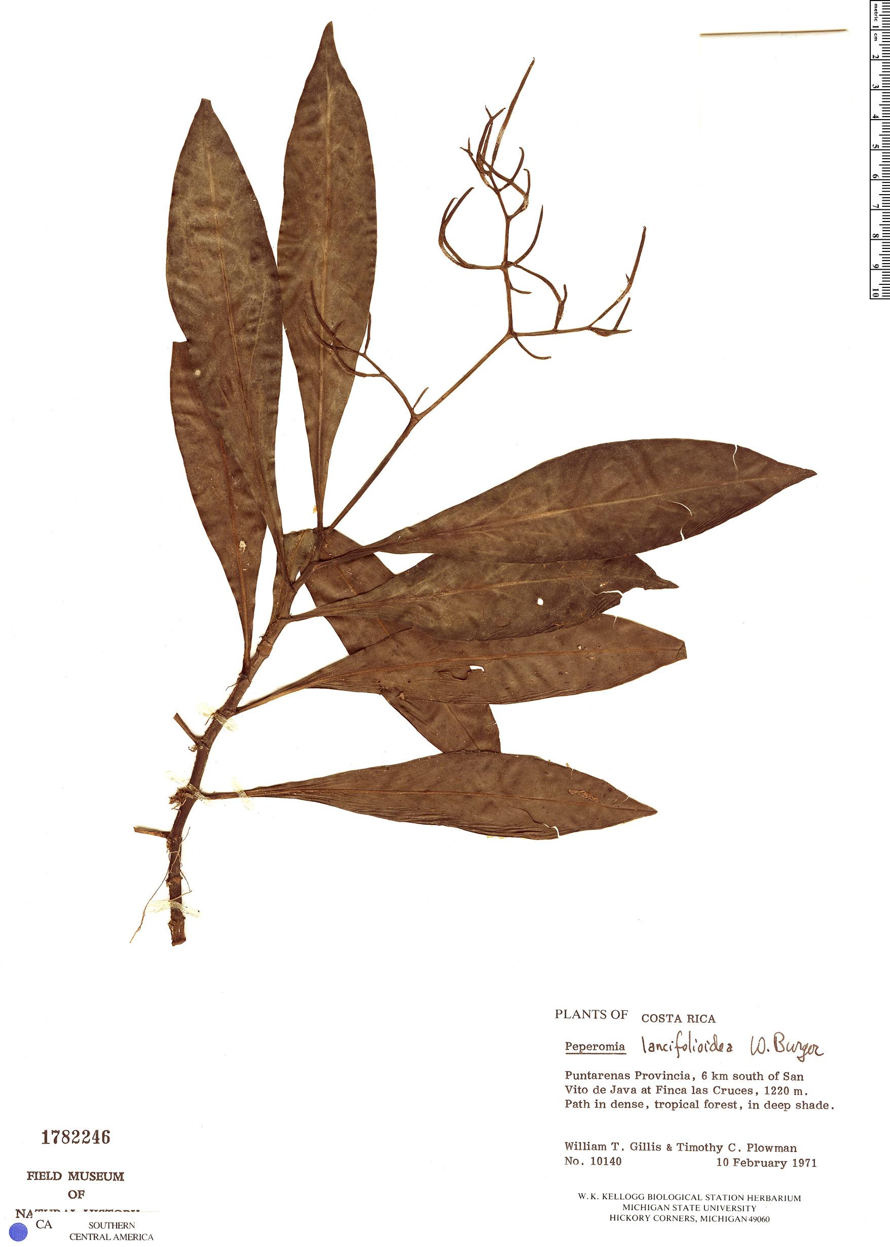 Specimen: Peperomia lancifolioidea
