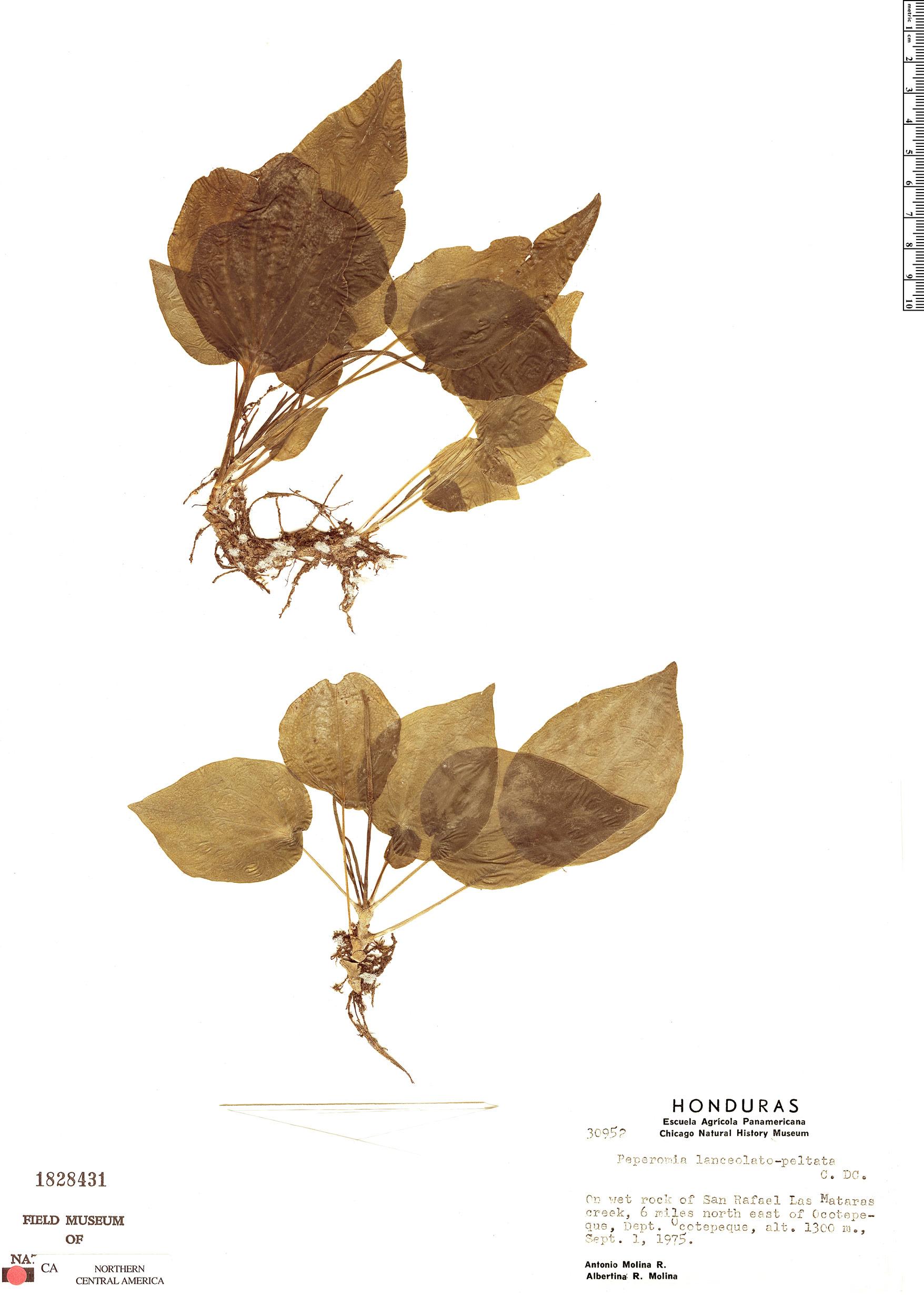 Specimen: Peperomia lanceolatopeltata