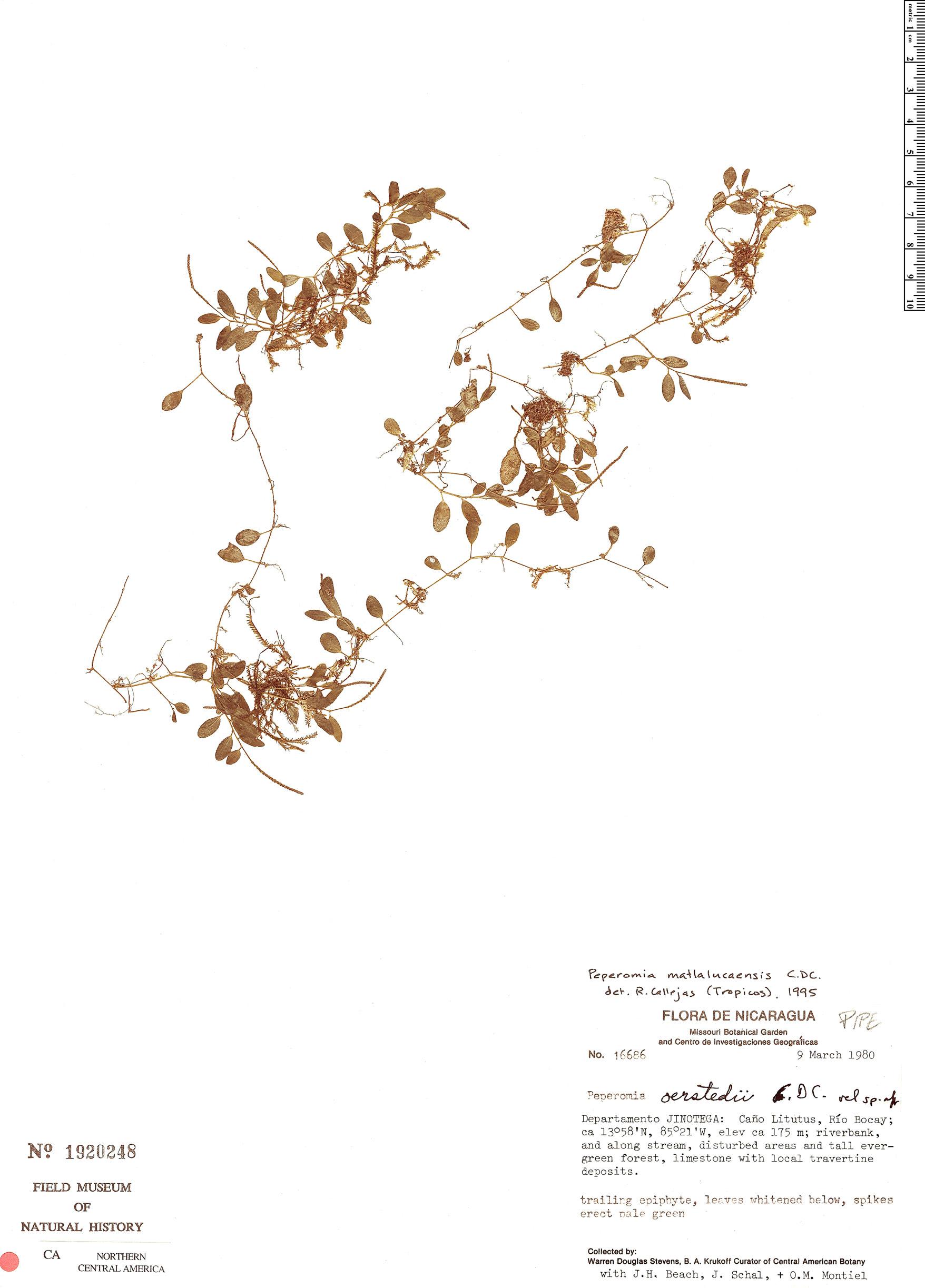 Specimen: Peperomia matlalucaensis