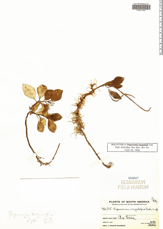 Specimen: Peperomia megalepis