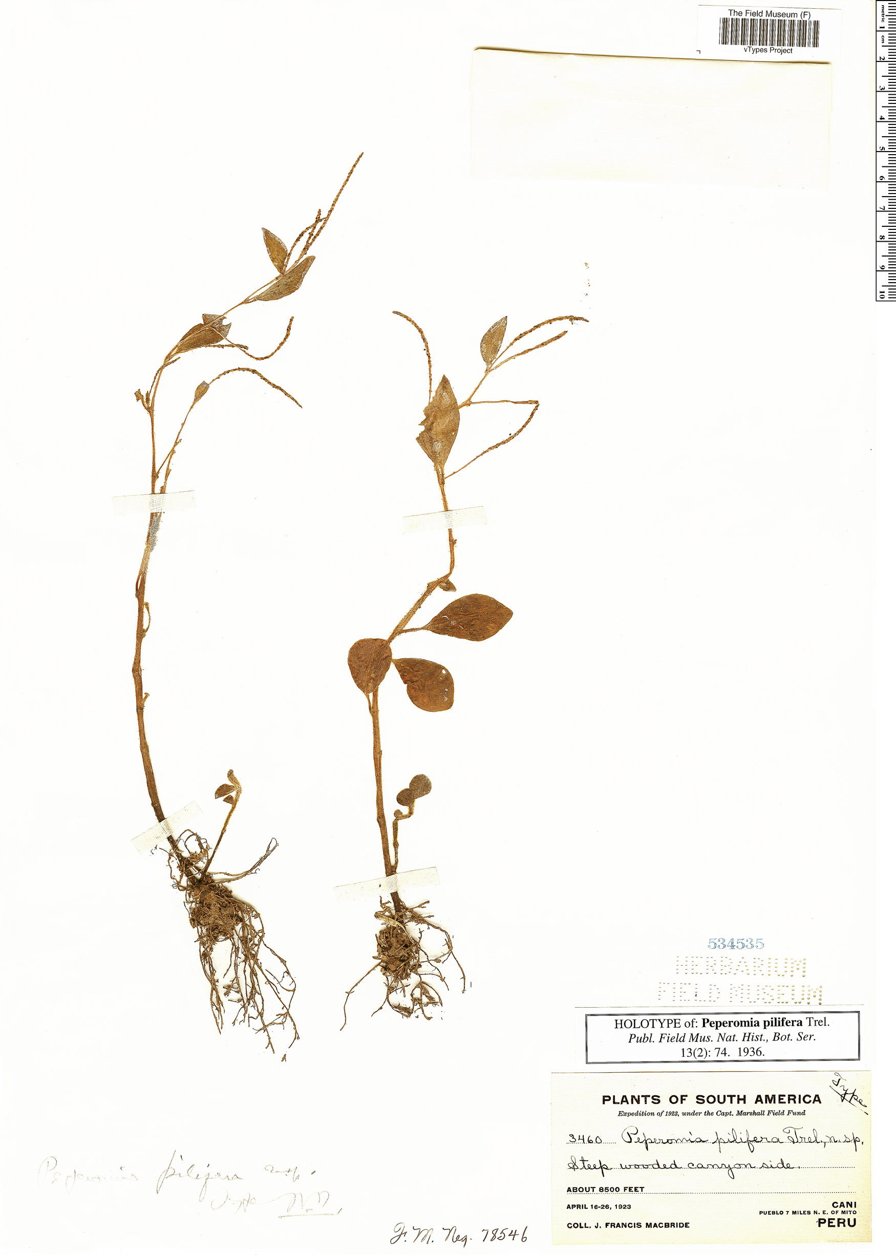 Specimen: Peperomia pilifera