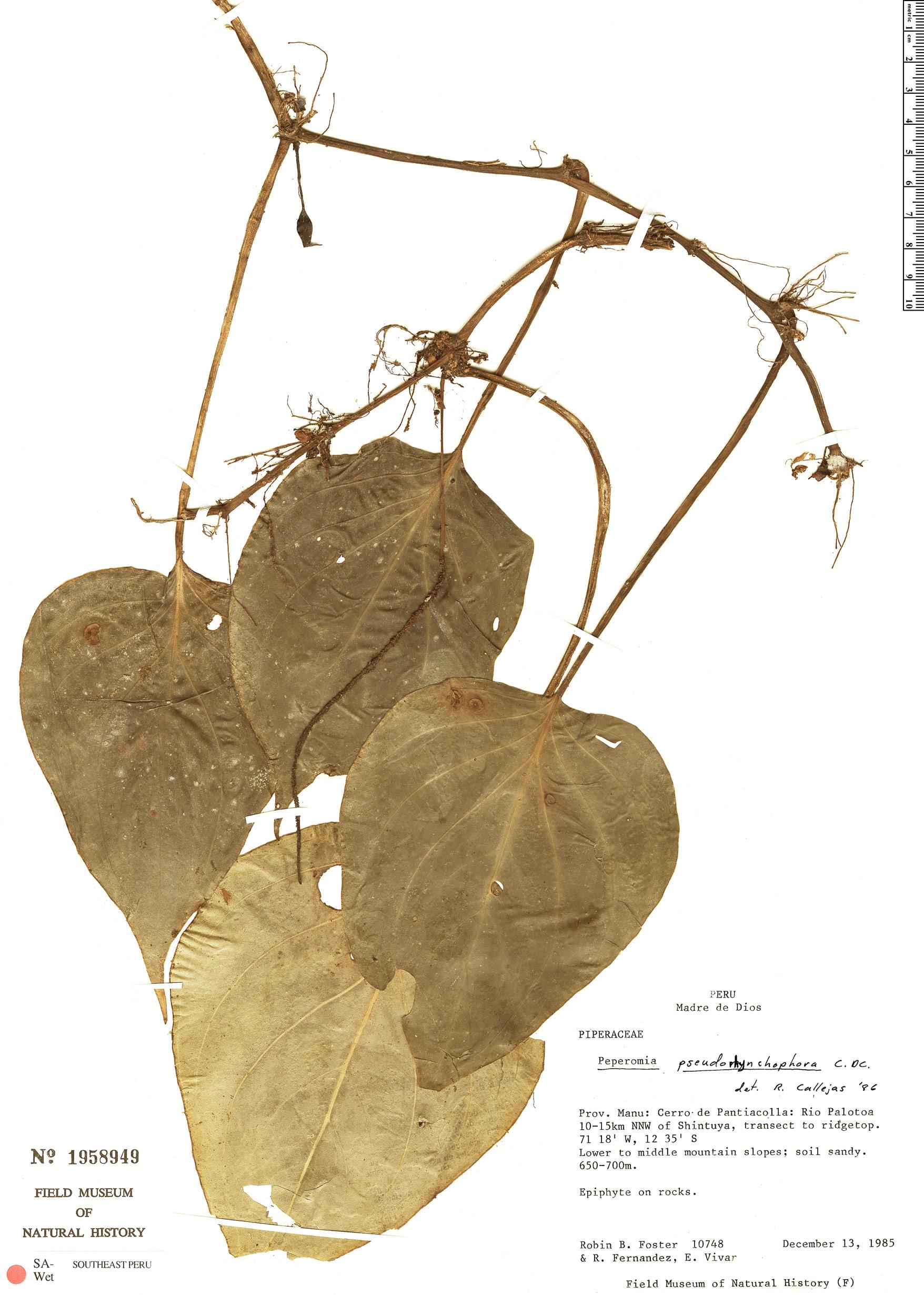 Specimen: Peperomia pseudorhynchophoros