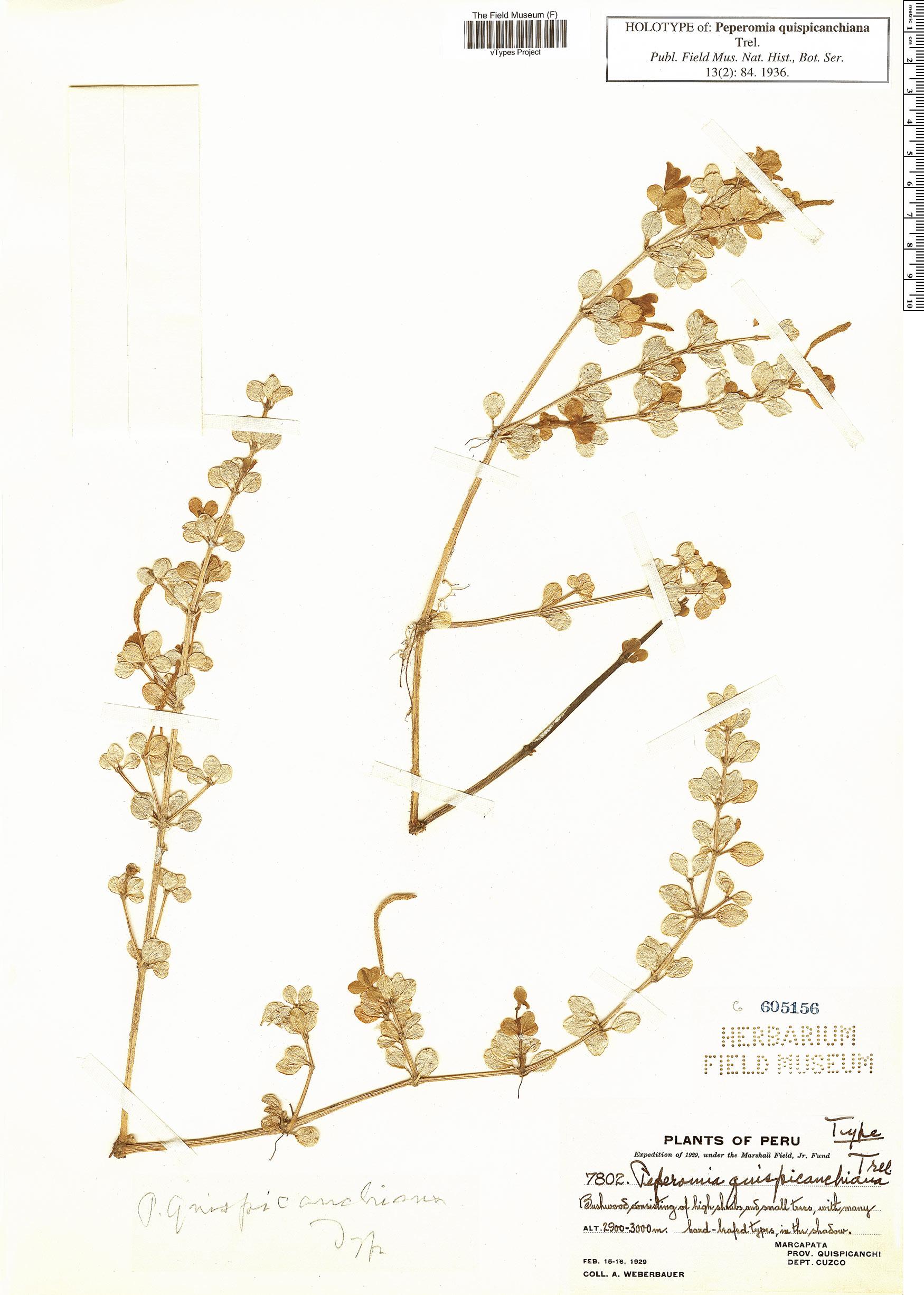 Specimen: Peperomia quispicanchiana