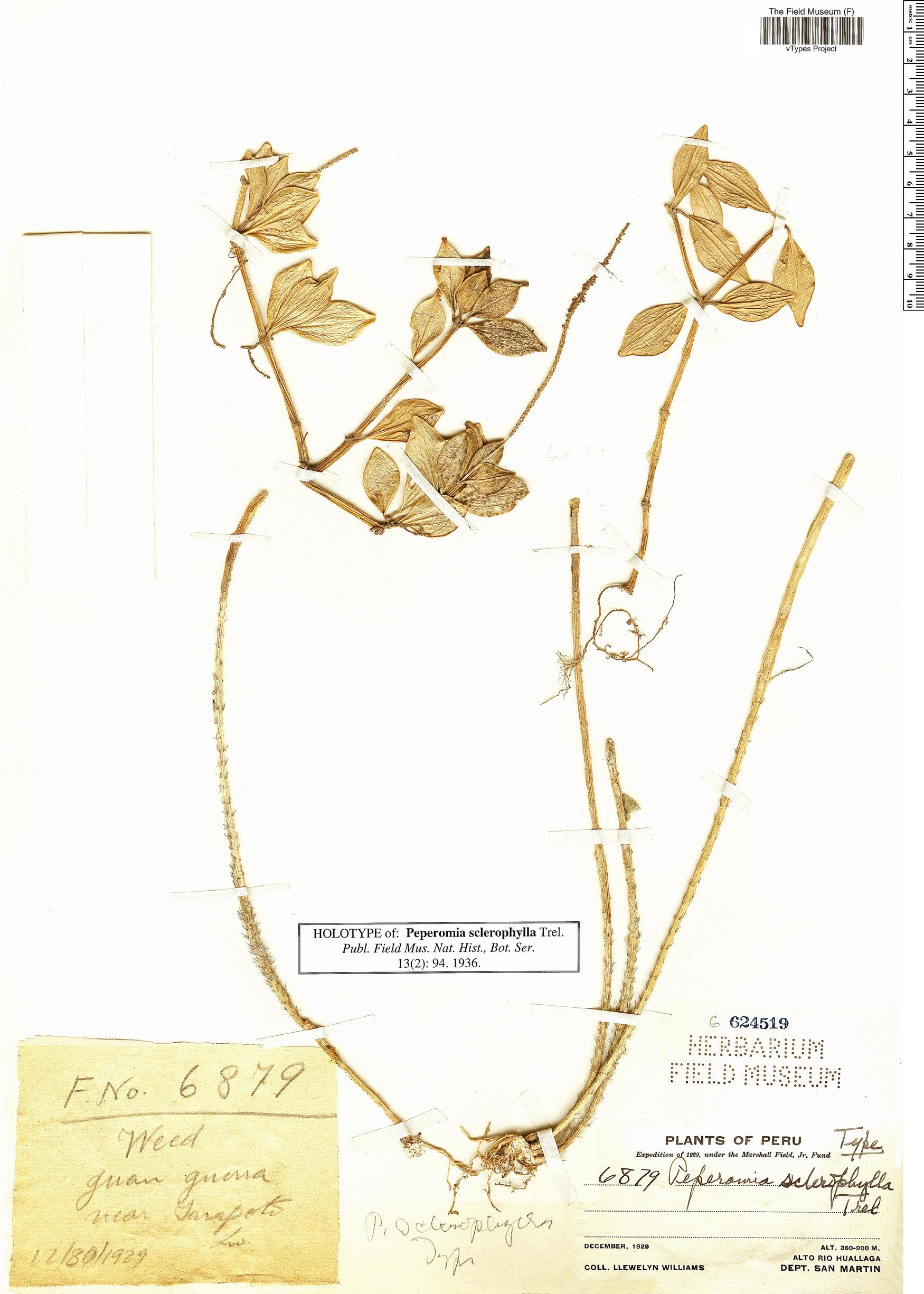 Specimen: Peperomia sclerophylla