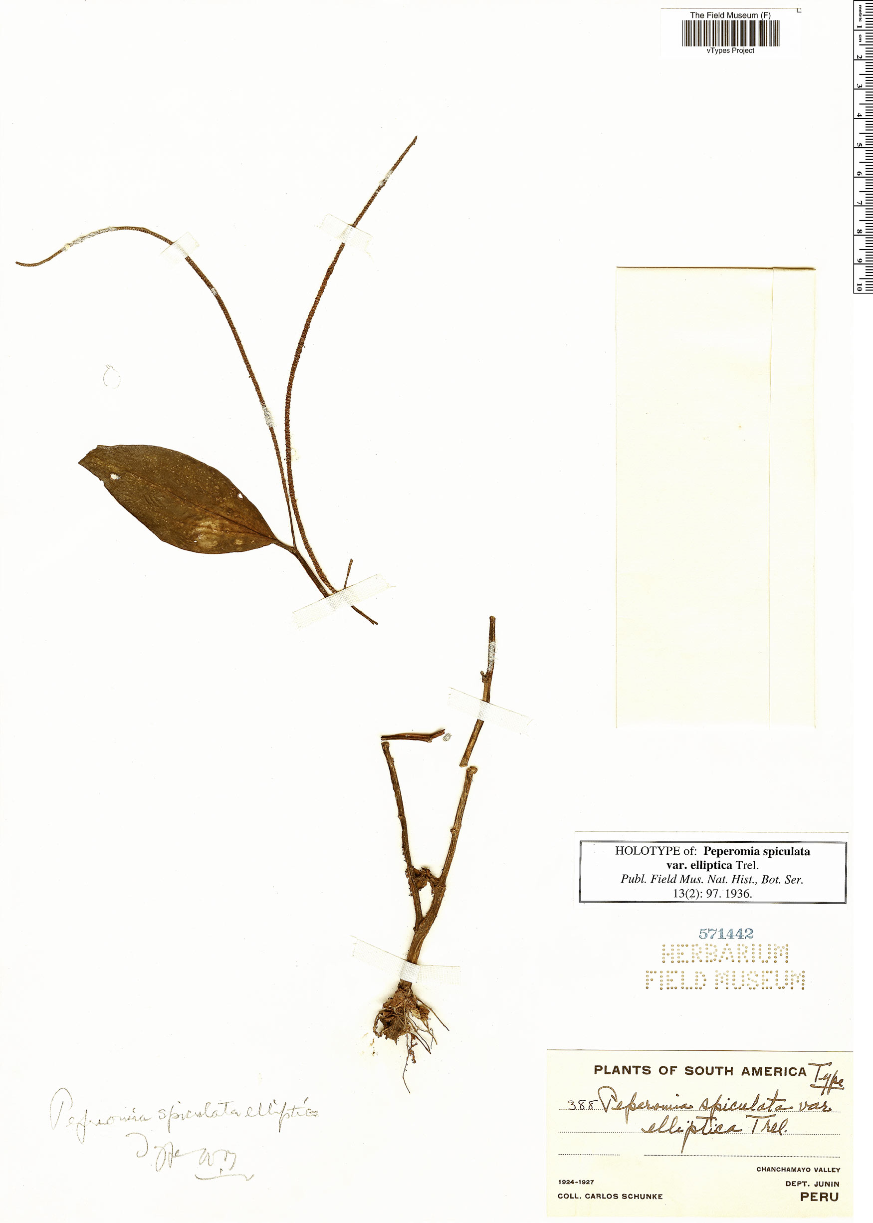 Espécime: Peperomia spiculata