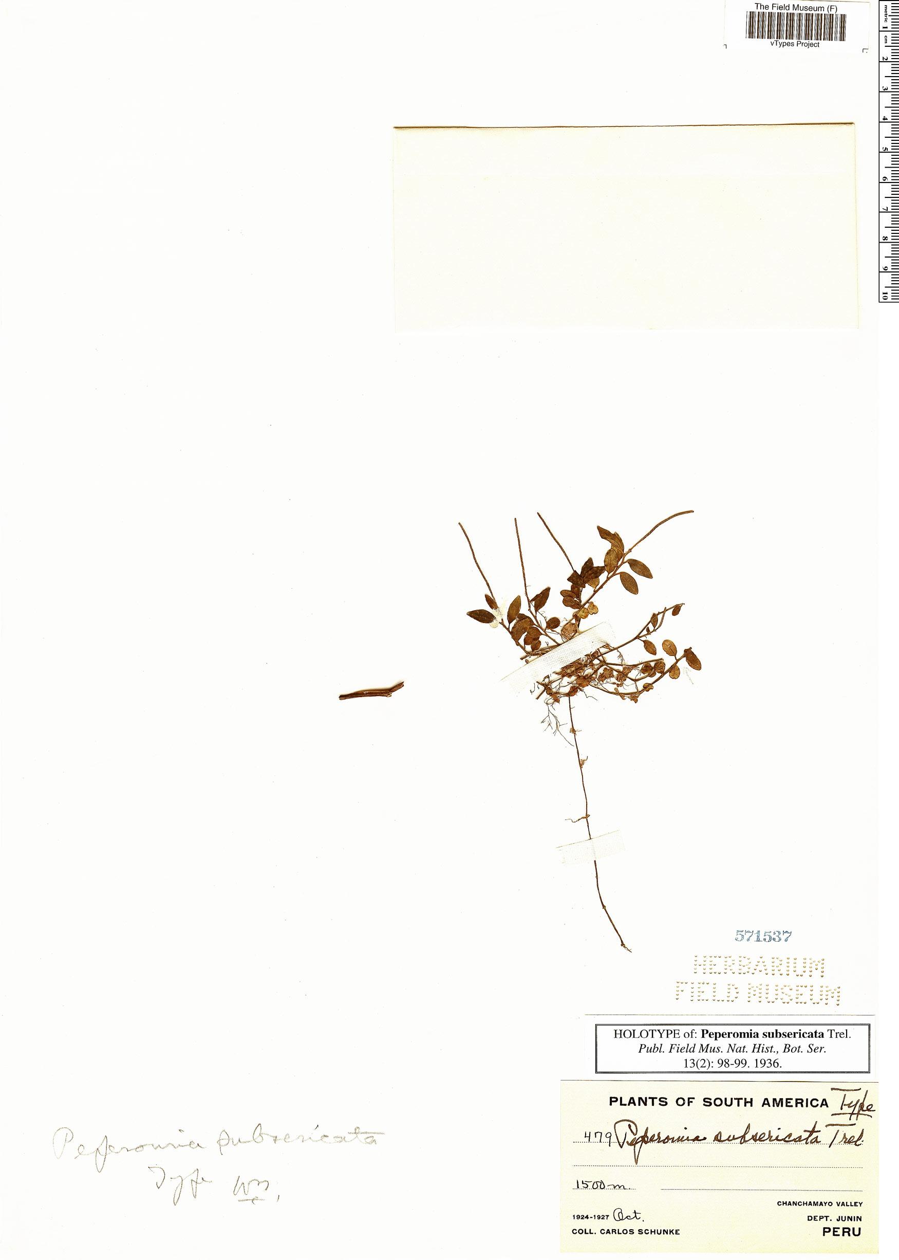 Specimen: Peperomia subsericata