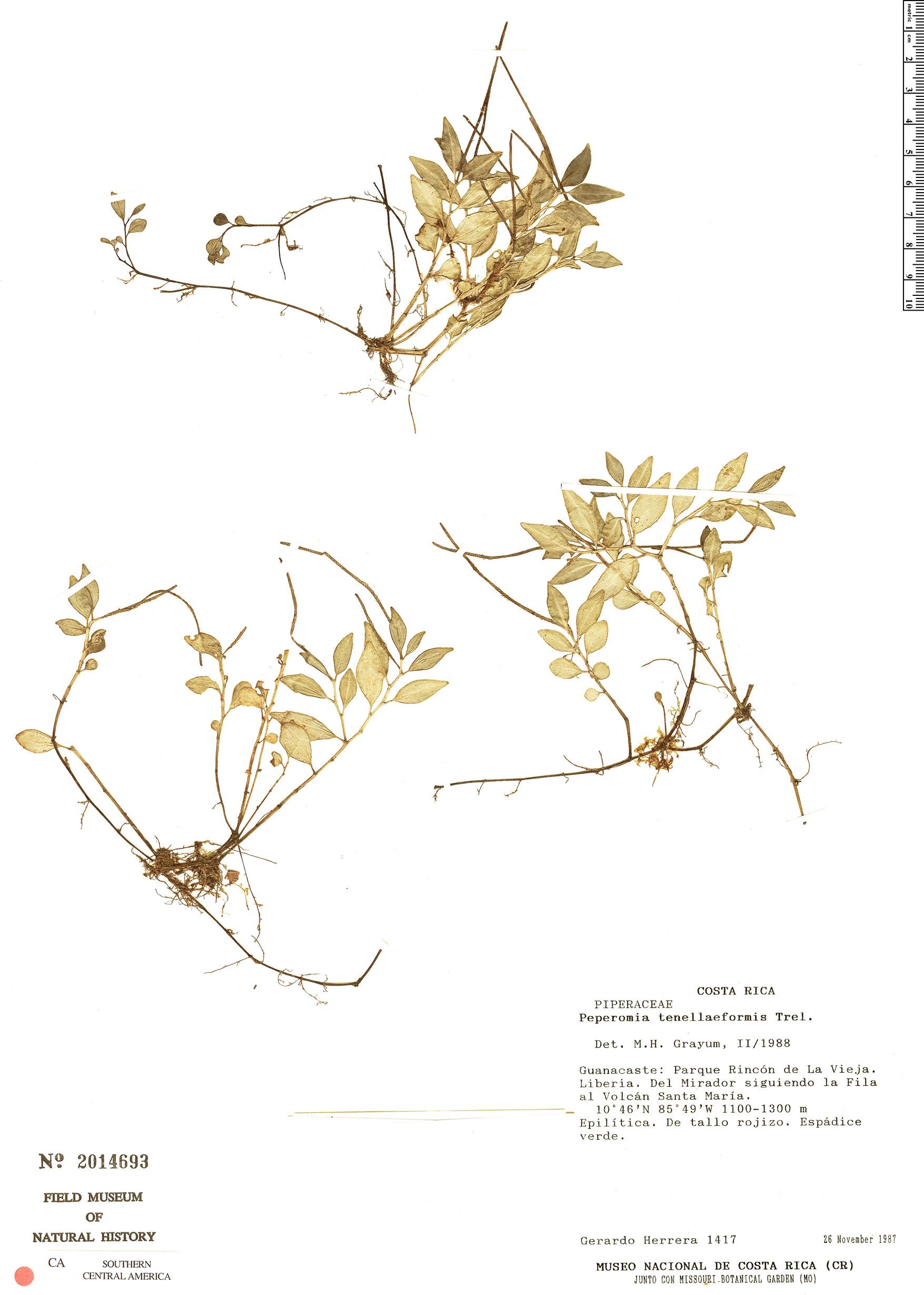 Espécimen: Peperomia tenelliformis