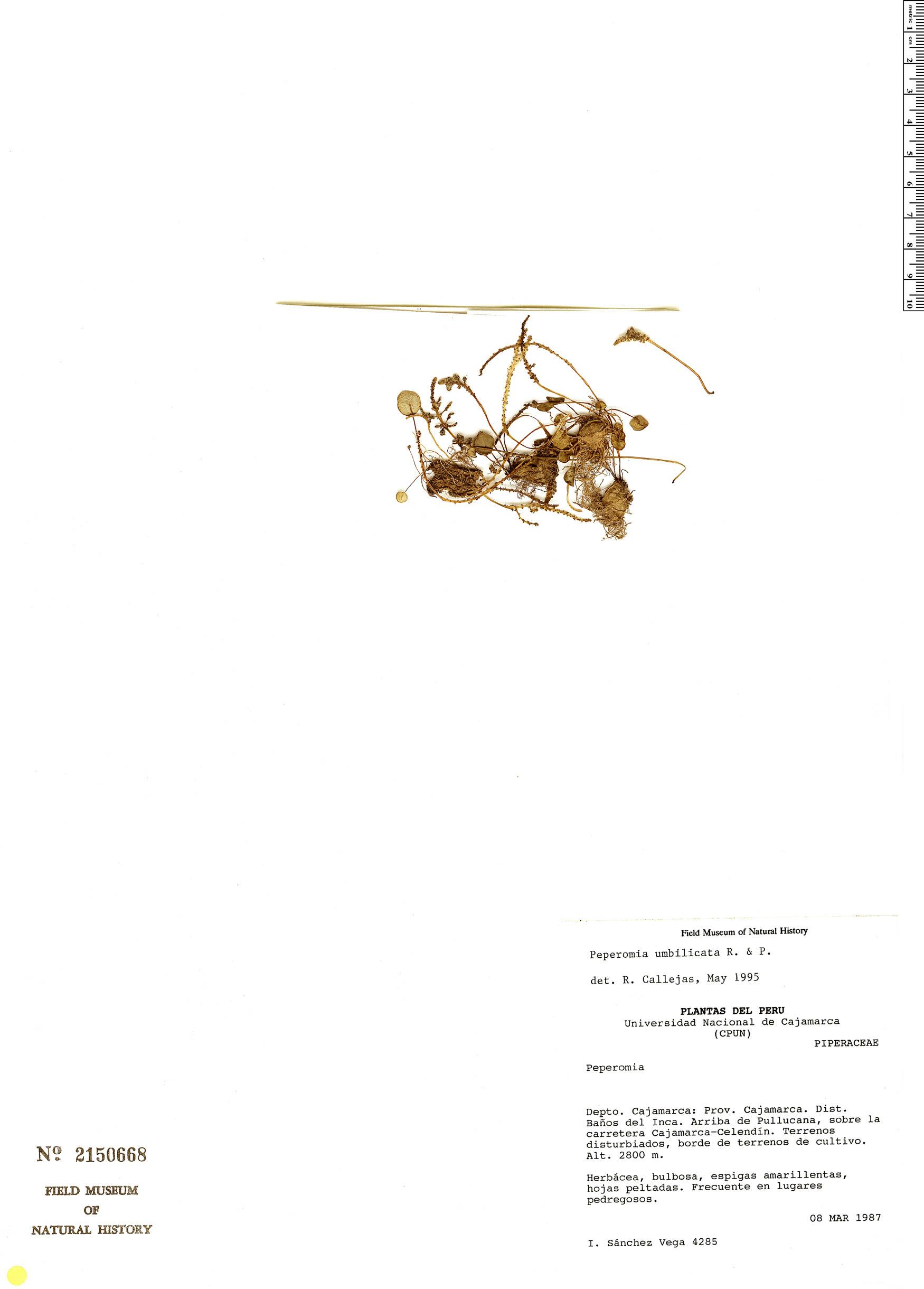Peperomia umbilicata image