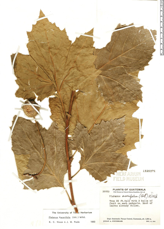 Specimen: Platanus acerifolia