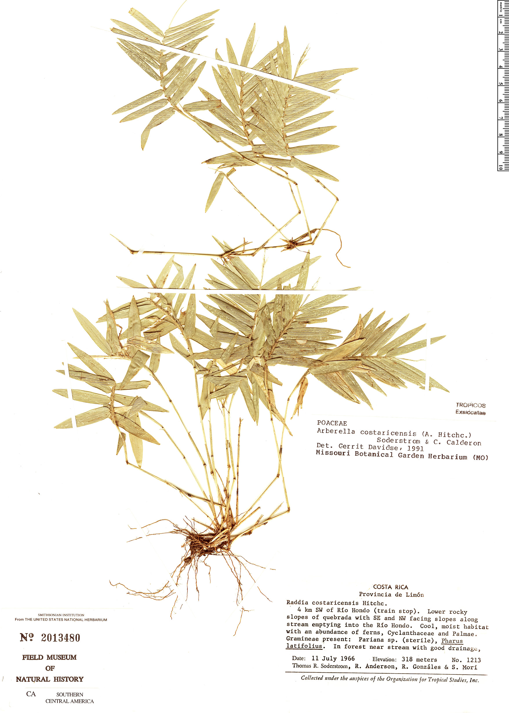 Image of Arberella costaricensis