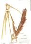 Arundinella hispida image