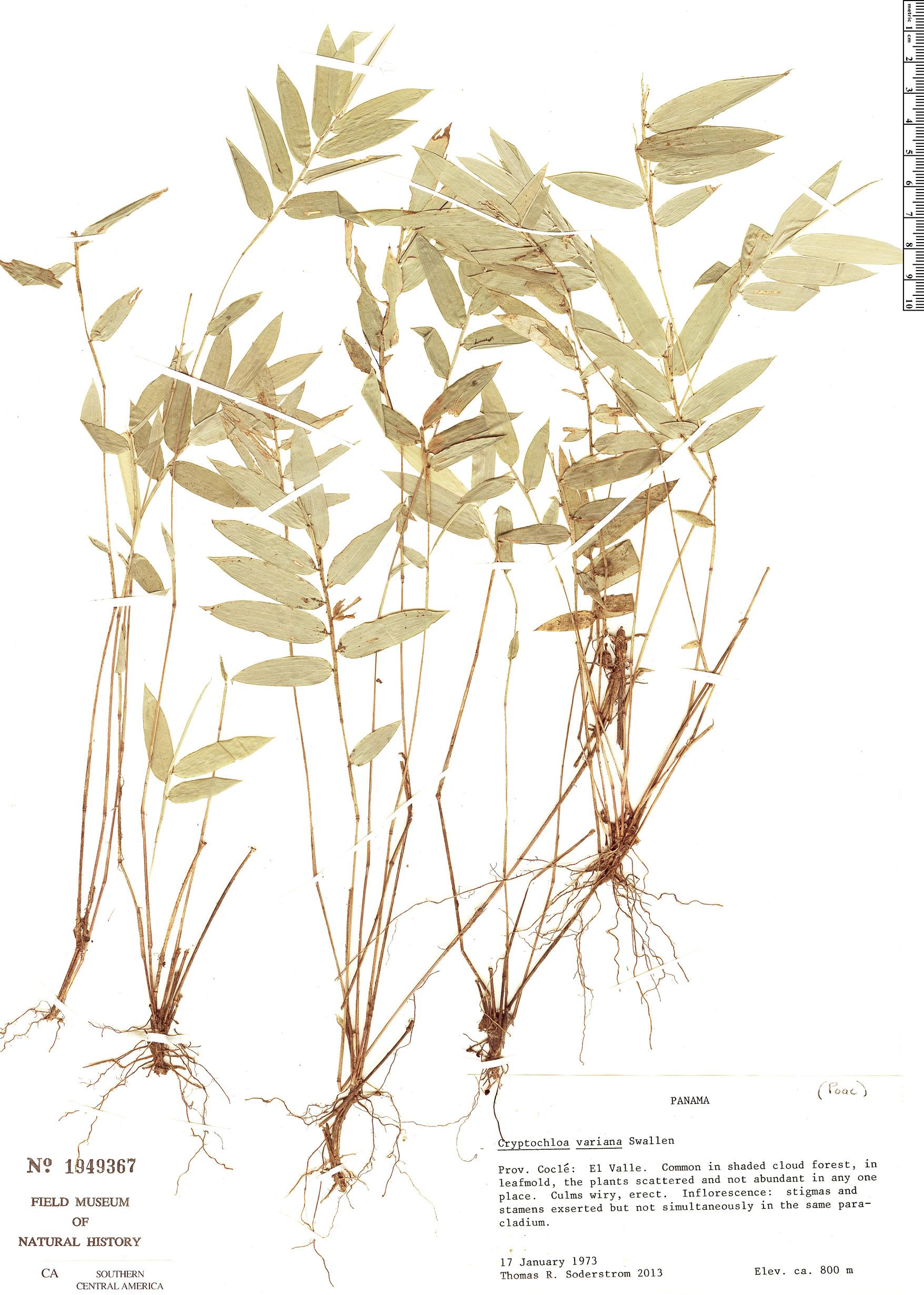 Image of Cryptochloa variana