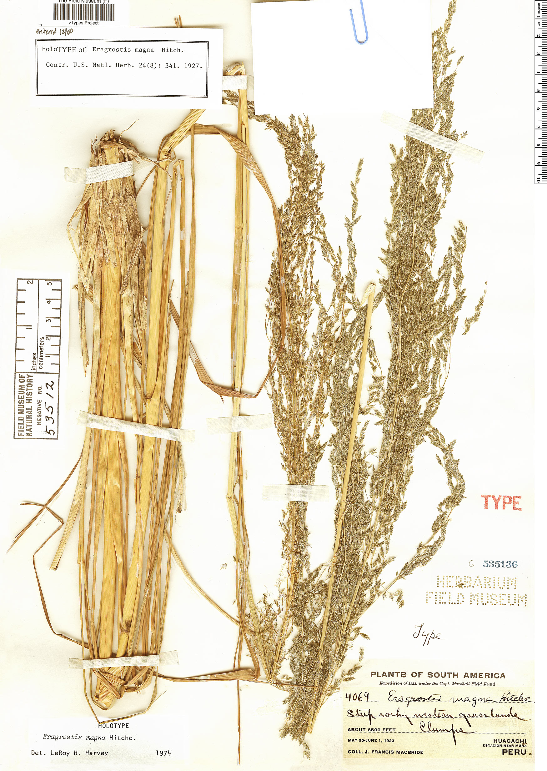 Specimen: Eragrostis magna