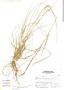 Eragrostis pastoensis image