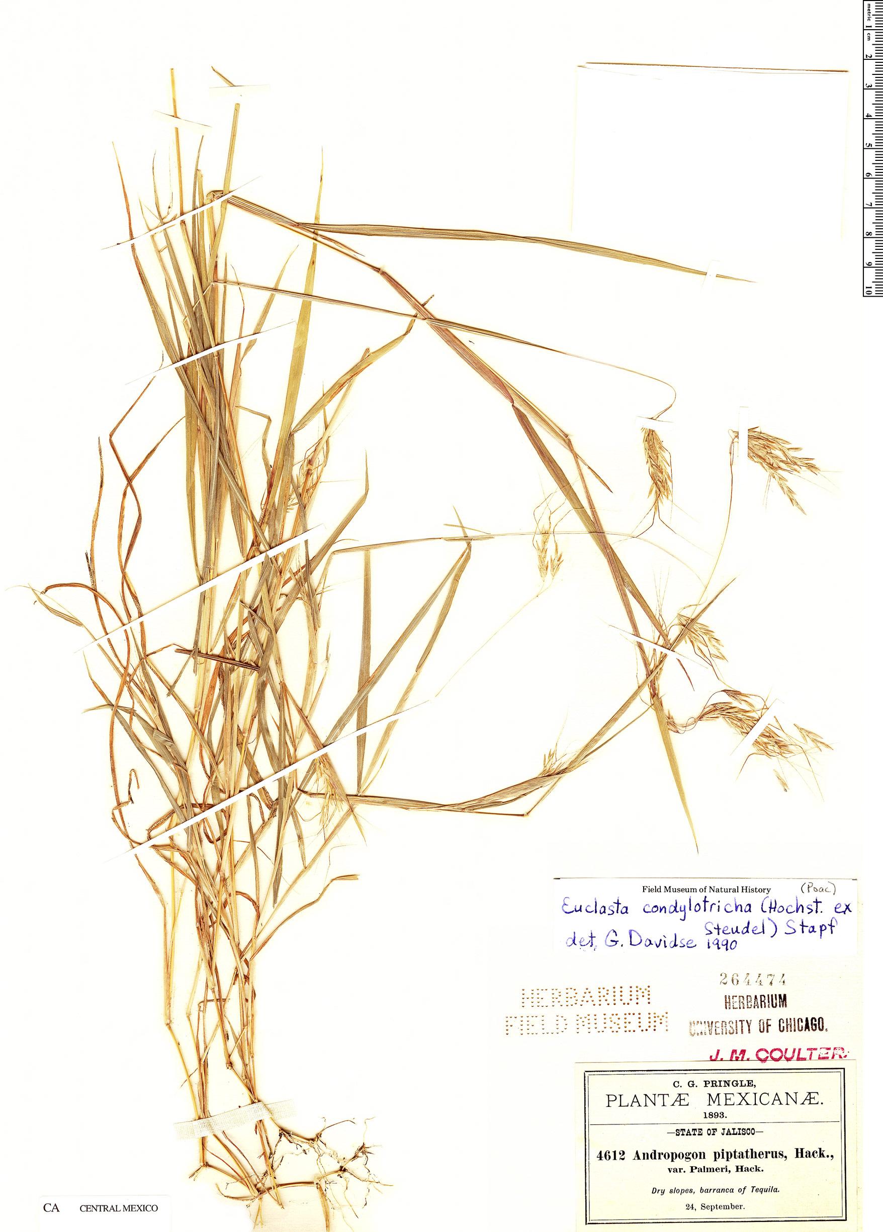 Specimen: Euclasta condylotricha