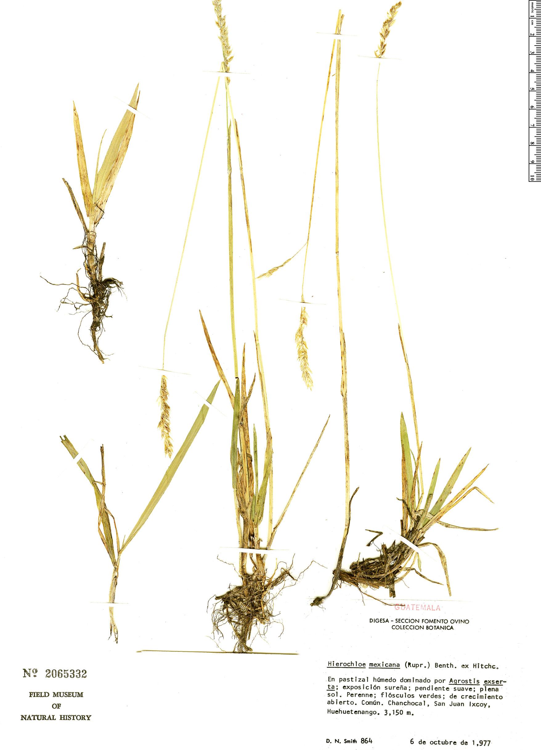 Specimen: Hierochloe mexicana