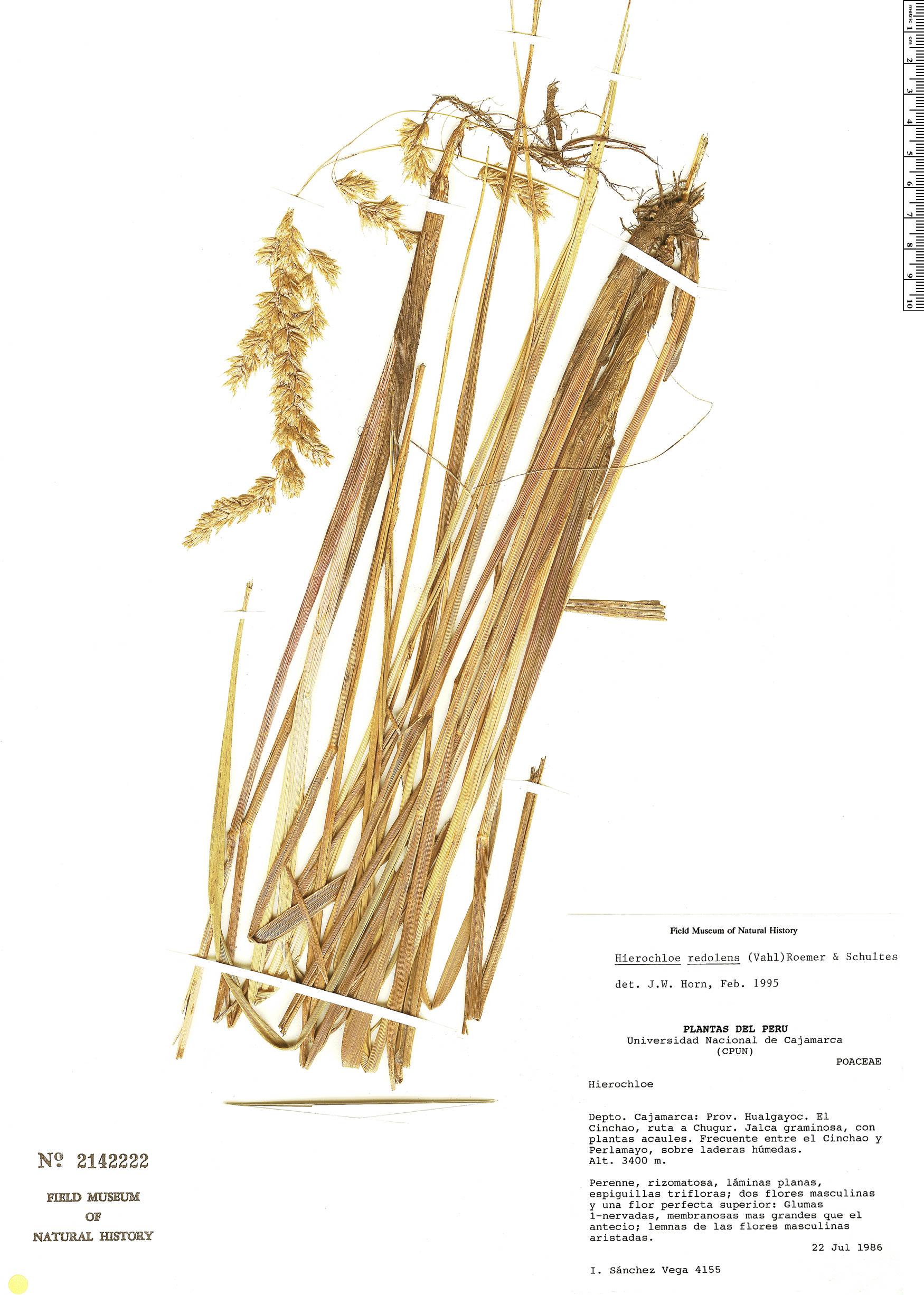 Espécimen: Hierochloe redolens