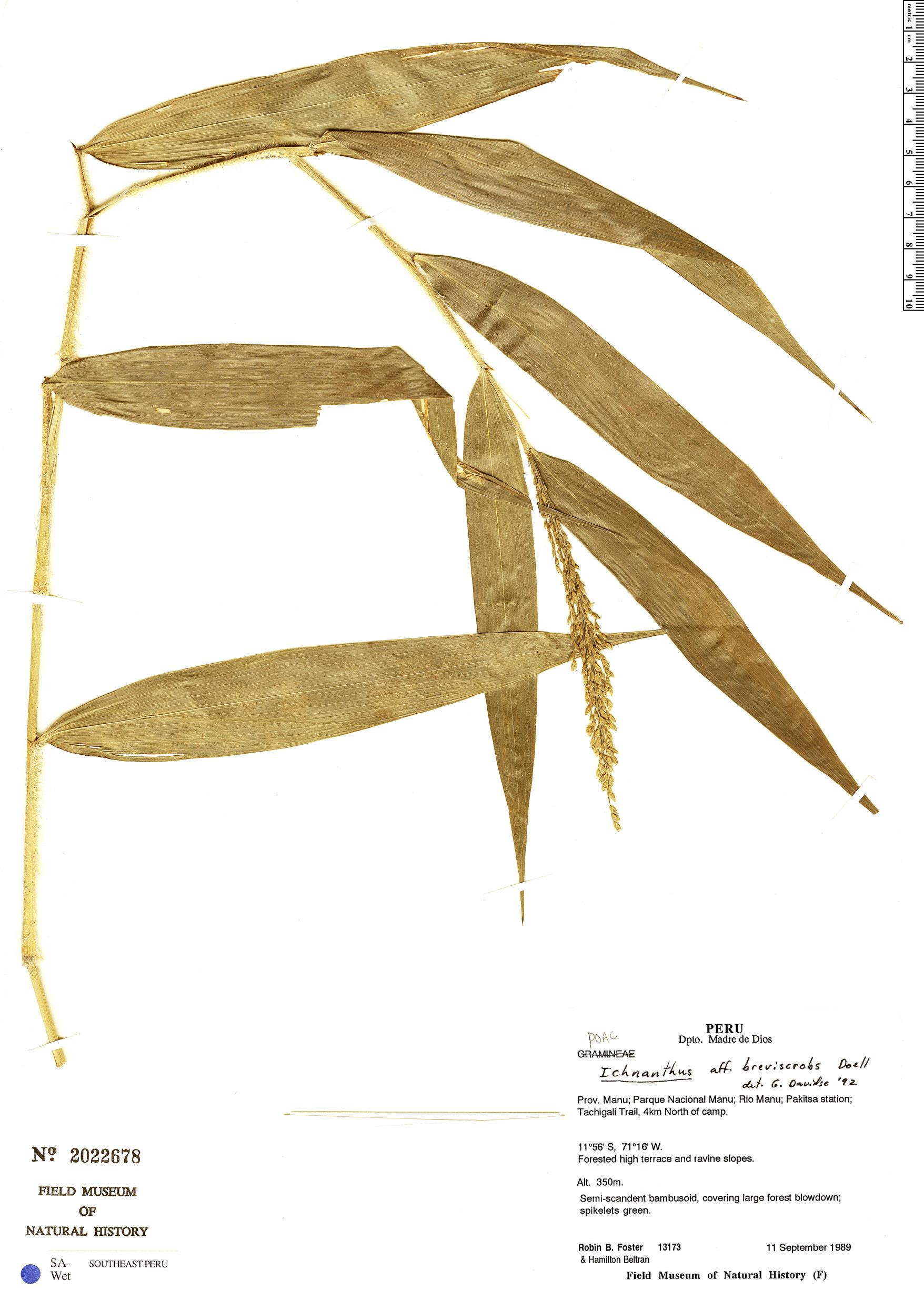 Specimen: Ichnanthus breviscrobs