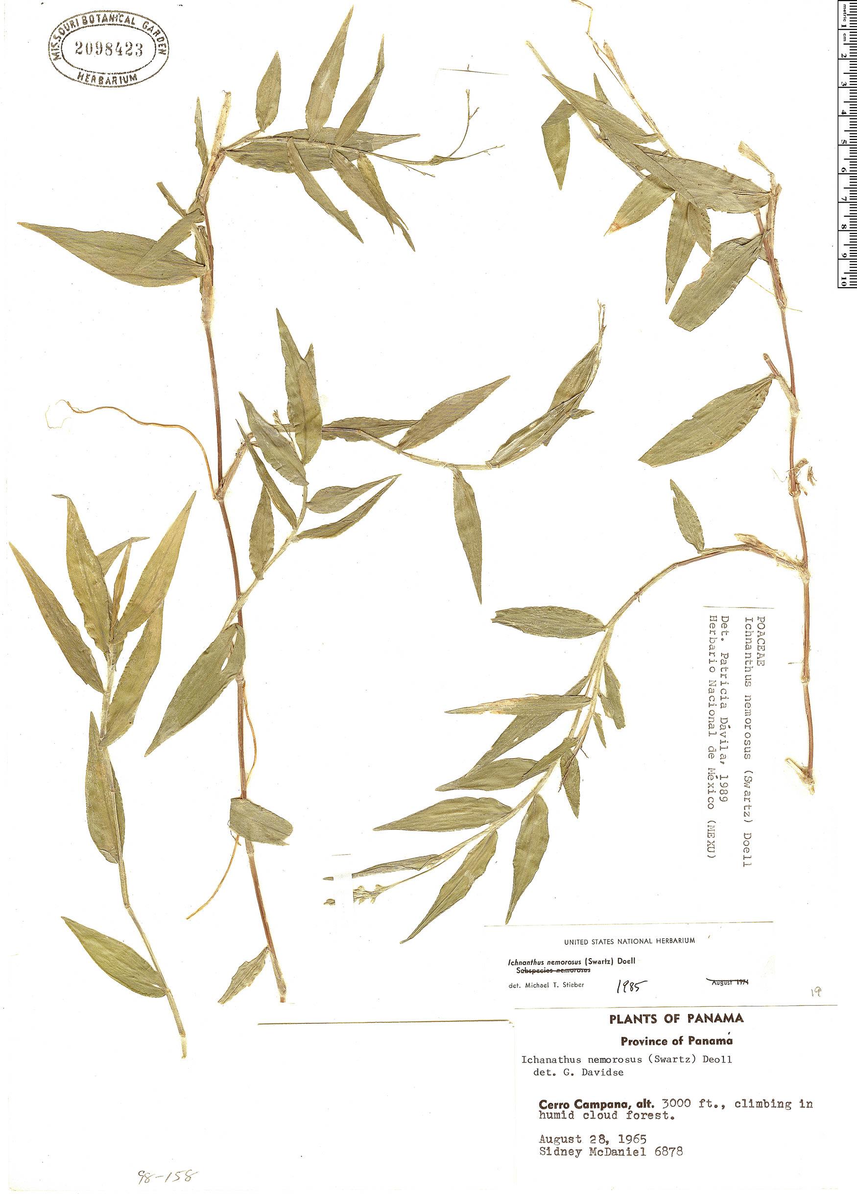 Specimen: Croton killipianus