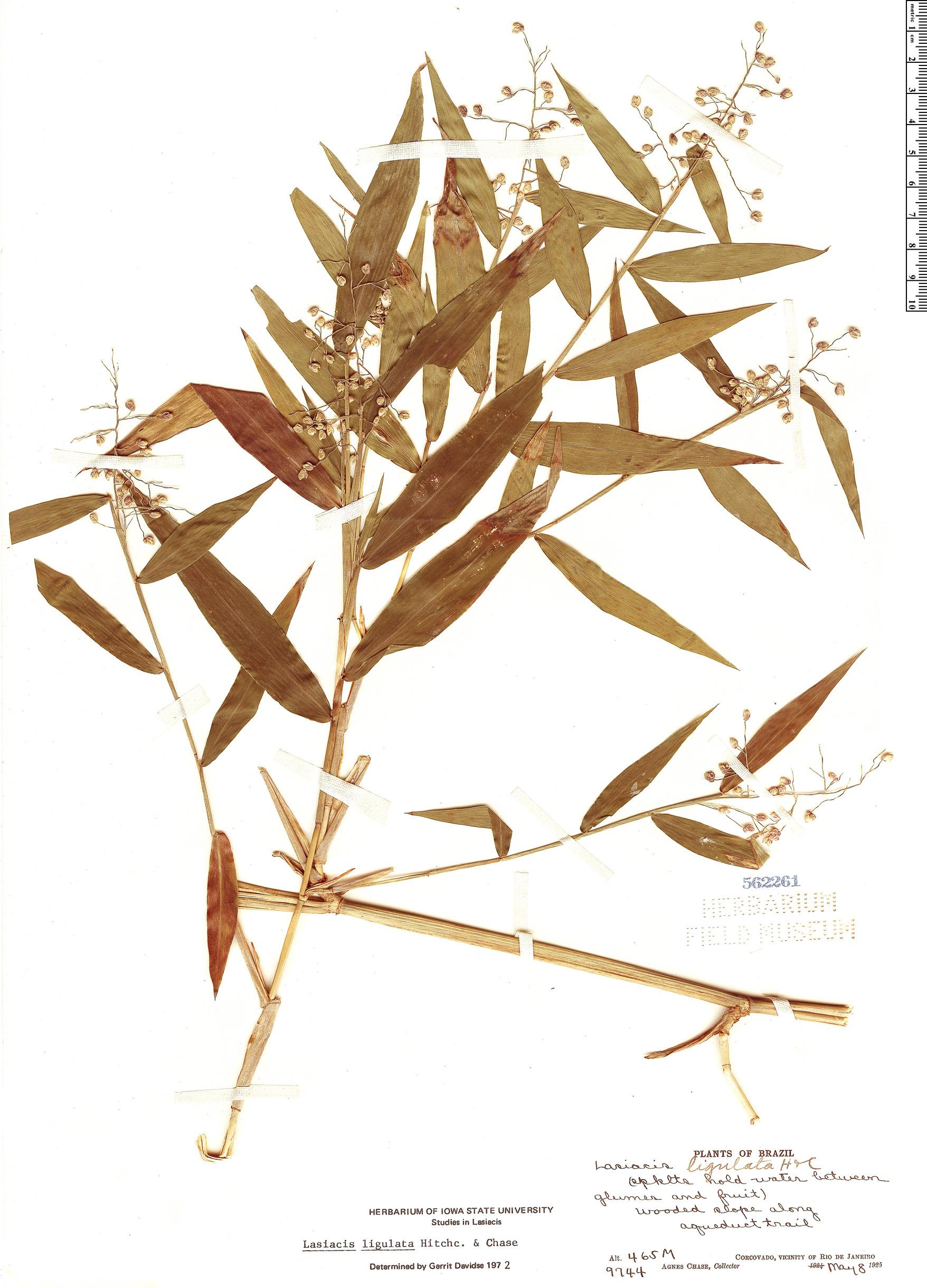 Specimen: Lasiacis ligulata
