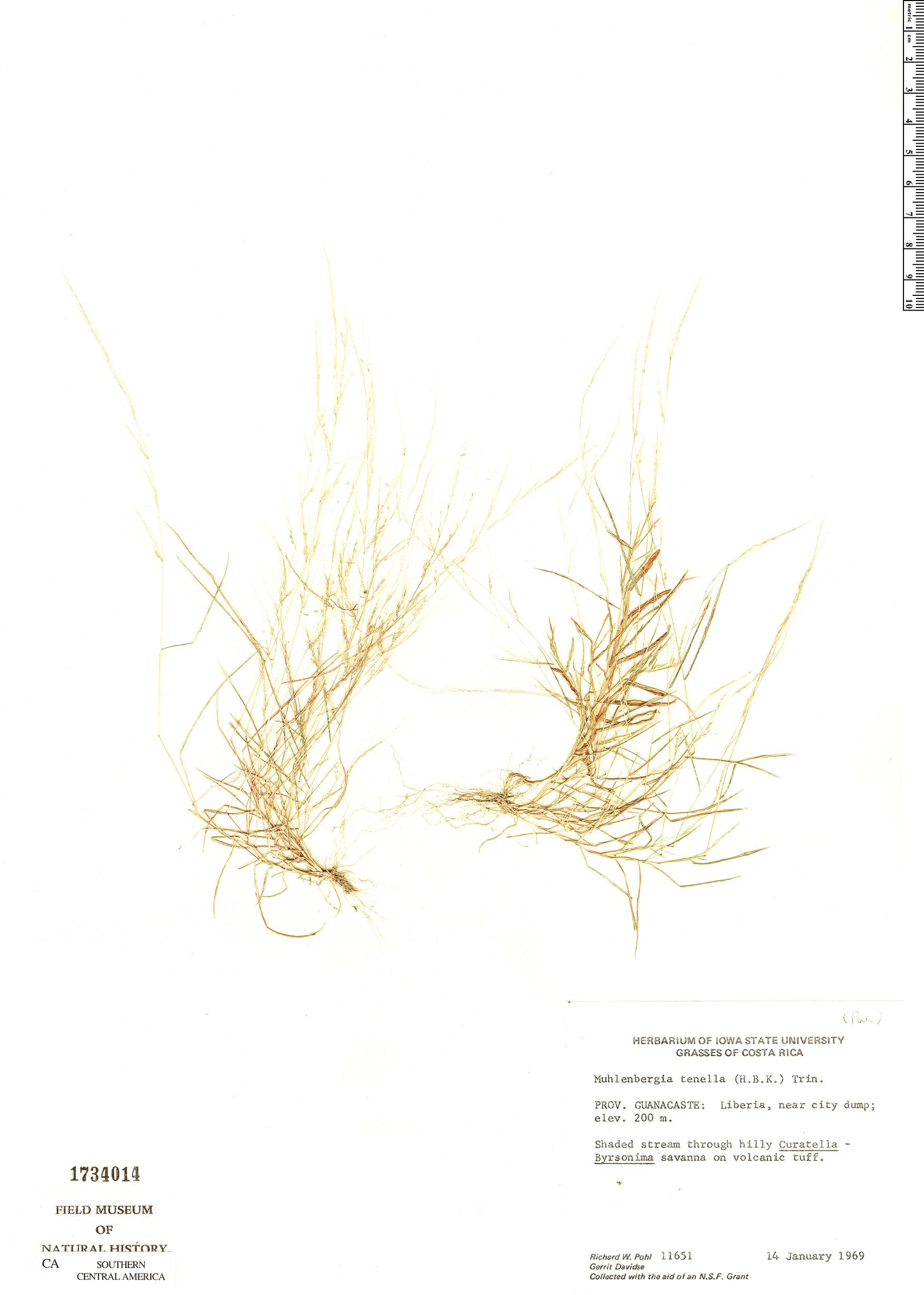 Muhlenbergia tenella image
