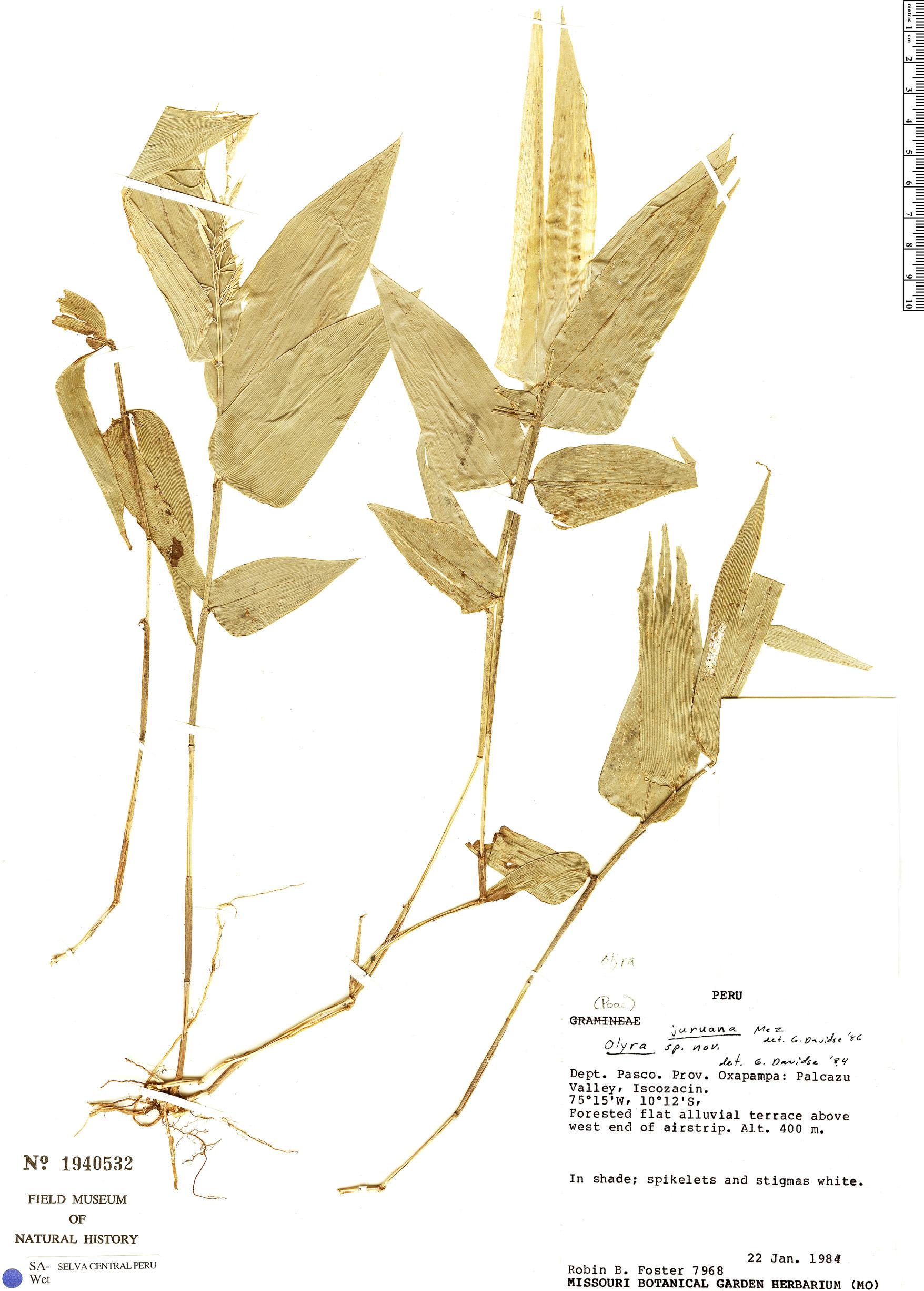 Specimen: Olyra juruana