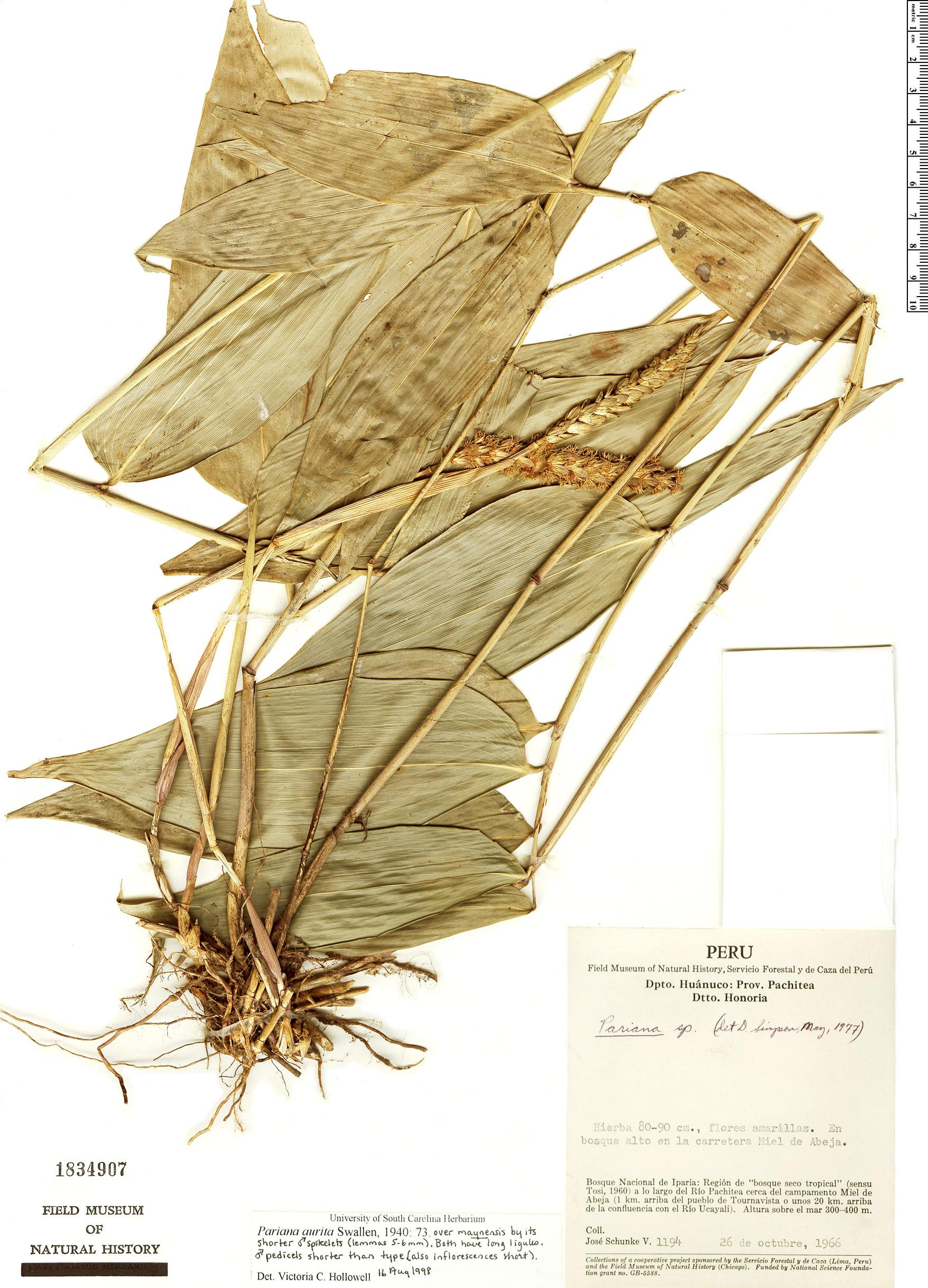 Specimen: Pariana aurita