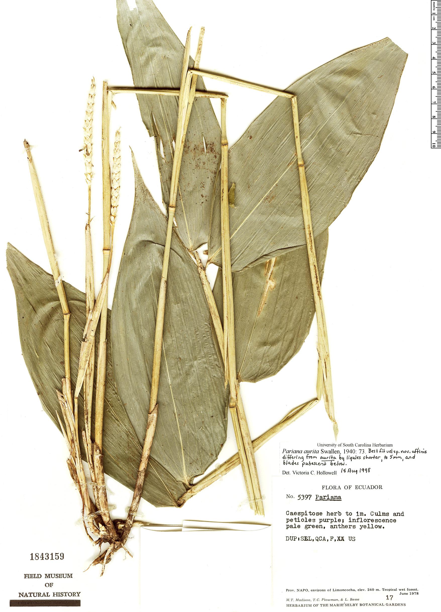 Espécimen: Pariana aurita