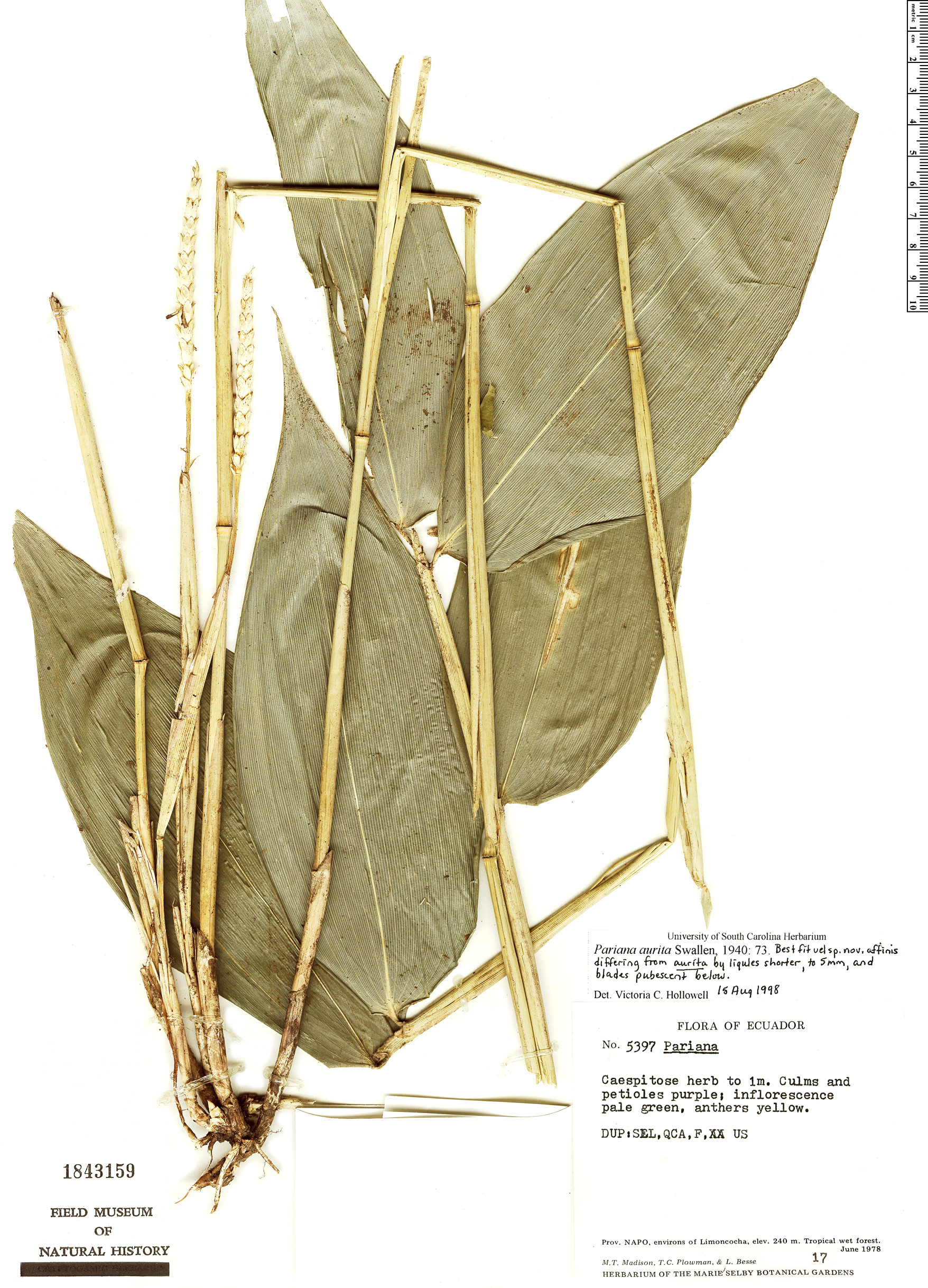 Espécime: Pariana aurita